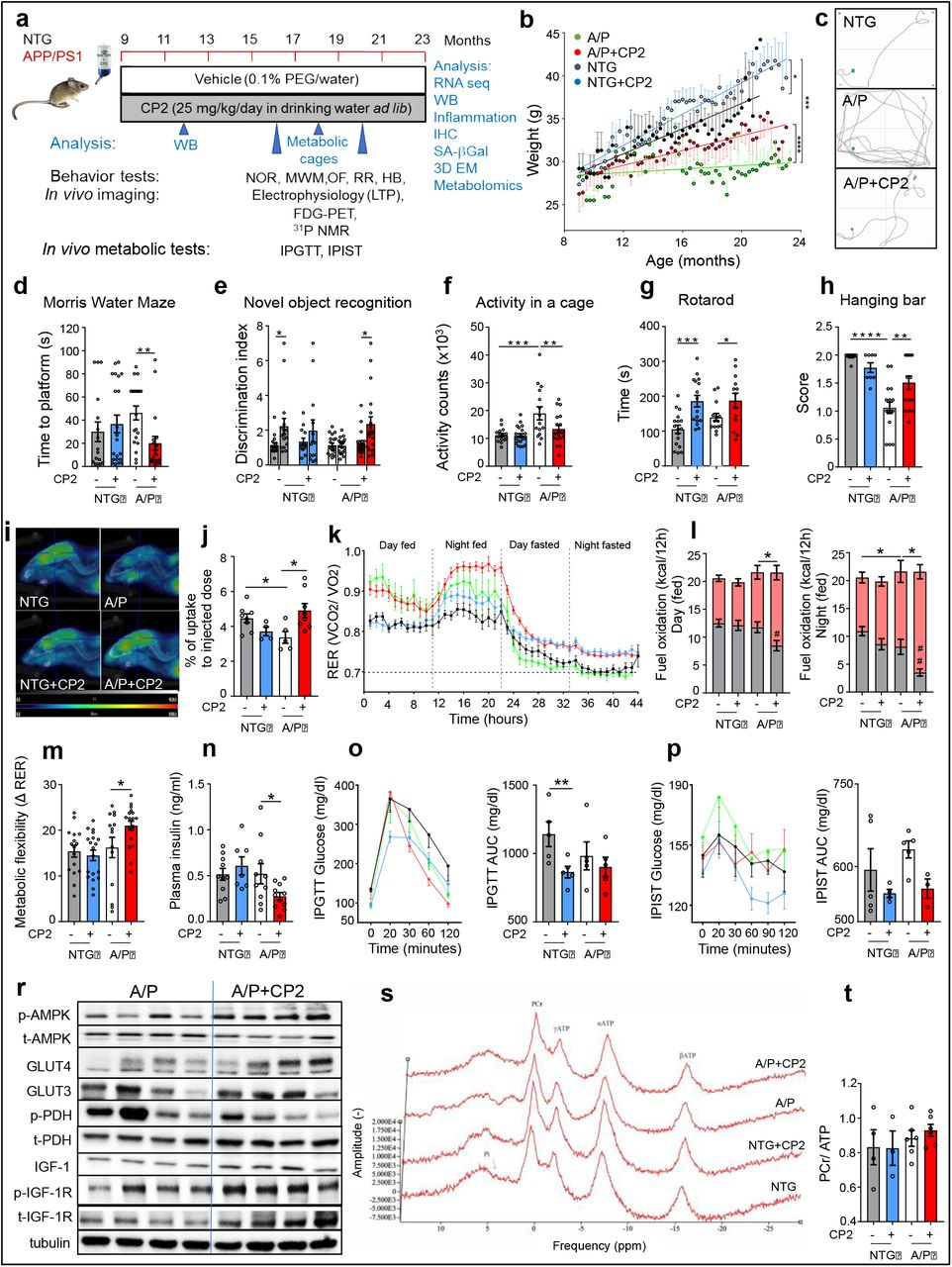 CP2 treatment restores cognitive function and increases glucose uptake and utilization in symptomatic APP/PS1 mice. a, Timeline of chronic CP2 treatment. b , Weight of NTG and APP/PS1 mice treated with vehicle or CP2 through the duration of the study. c-h , CP2 treatment improves performance in the Morris Water Maze ( c, d ) and in the Novel Object Recognition test ( e ), reduces hyperactivity of APP/PS1 mice in open field test ( f ), and increases motor strength and coordination on the rotating rod ( g ) and hanging bar ( h ). n = 17 - 20 mice per group. i , Glucose uptake was increased in the brain of CP2-treated APP/PS1 mice measured using FDG-PET after 9 months of treatment. j , Quantification of glucose uptake by FDG-PET imaging from ( i ). n = 5 - 8 mice per group. k , Changes in respiratory exchange ratio (RER) recorded in all treatment groups over 44 h during ad lib fed and fasting states. l , Glucose oxidation was increased in CP2-treated APP/PS1 mice fed ad lib based on CLAMS data from ( k ). Grey bars indicate fat consumption; orange bars indicate carbohydrate and protein oxidation. m , Metabolic flexibility is increased in CP2-treated APP/PS1 mice based on their ability to switch from carbohydrates to fat between feeding and fasting states. k-m , n = 15 - 20 mice per group. n-p , CP2 treatment reduces fasting insulin levels in plasma of APP/PS1 mice ( n ); increases glucose tolerance in NTG mice measured by intraperitoneal glucose tolerance test (IPGTT) ( o ); and displays tendency to improve intraperitoneal insulin sensitivity test (IPIST) in NTG and APP/PS1 mice ( p ) after 9 - 10 months of treatment. n = 5 - 10 mice per group. r, Western blot analysis conducted in the brain tissue of APP/PS1 mice treated with CP2 for 13 months indicates increased IGF-1signaling, expression of Glut 3 and 4 transporters and changes in pyruvate dehydrogenase (PDH) activation associated with glucose utilization in the TCA cycle. s, Representative 31 P NMR spectra with peaks corresponding to energy metabolites, including inorganic phosphate (Pi), phosphocreatine (PCr), and three phosphate group peaks for ATP generated in living NTG and APP/PS1 mice after 9 months of vehicle or CP2 treatment. t , Phosphocreatine/ATP ratio calculated based on the 31 P NMR in vivo spectra from ( s ). n = 4 - 6 mice per group. Data are presented as mean ± S.E.M. Data were analyzed by two-way ANOVA with Fisher`s LSD post-hoc test. A paired Student t -test was used for statistical analysis of NOR test. *P