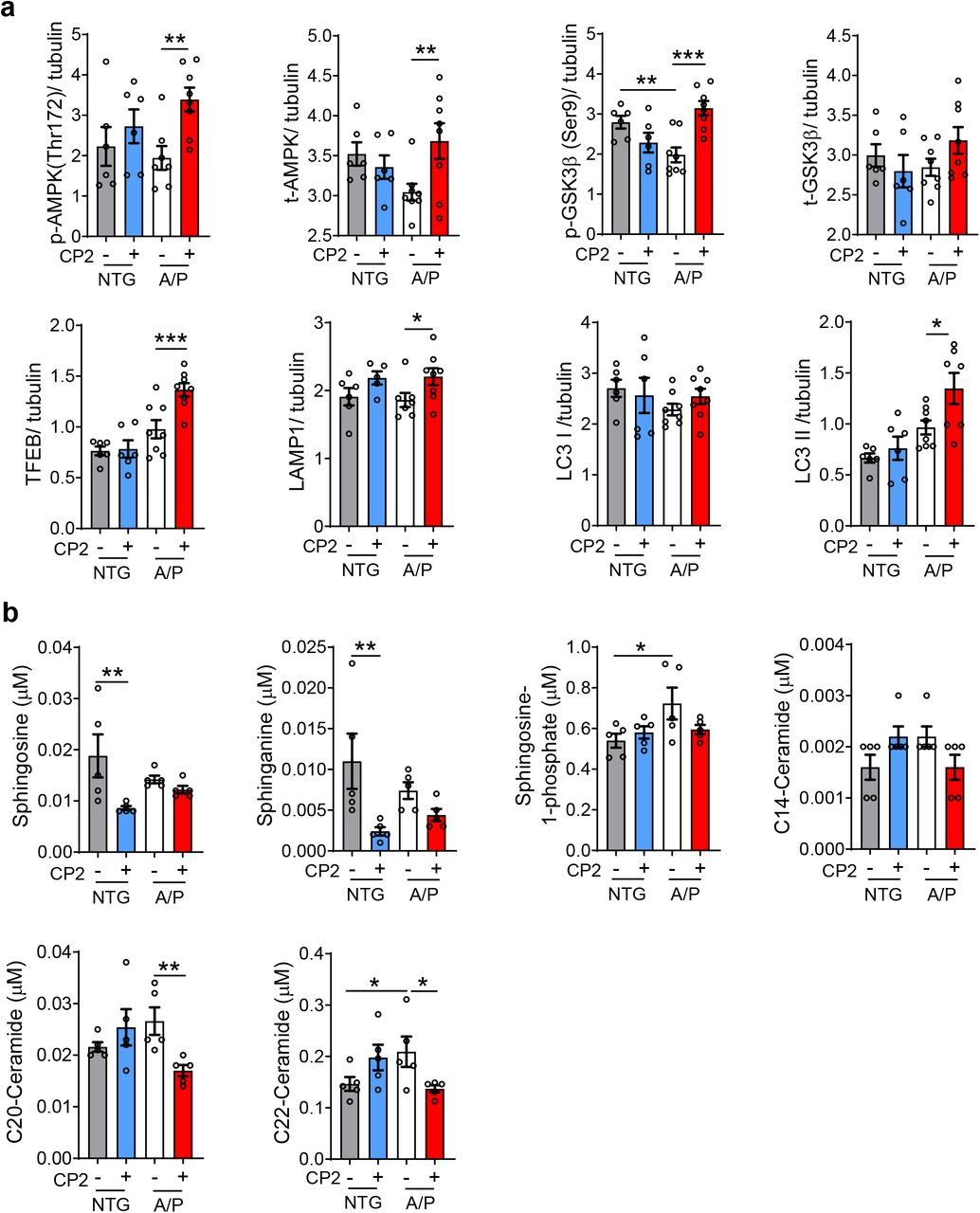 CP2 treatment induces autophagy in the brain and reduces levels of plasma ceramides in symptomatic APP/PS1 mice. a, CP2-dependent activation of AMPK and inhibition of GSK3β activates TFEB and increases autophagy in CP2-treated APP/PS1 mice. Quantification of Western blot analysis performed in the brain tissue of 23-month-old NTG and APP/PS1 mice treated with vehicle or CP2. n = 6 - 8 mice per group. b, Plasma from vehicle- and CP2-treated NTG and APP/PS1 mice 23-month-old ( n = 5 per group) was obtained via retro-orbital bleeding. Ceramide concentrations were determined using targeted metabolomics approach and electrospray ionization mass spectrometry ESI/MS. Significance was determined by two-way ANOVA with Fisher`s LSD post-hoc test. A/P, APP/PS1; NTG, non-transgenic littermates. Data are presented as mean ± S.E.M. *P