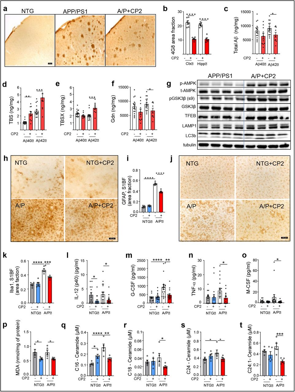 CP2 treatment reduces levels of Aβ, inflammation and oxidative stress in symptomatic APP/PS1 mice. a, Representative images of Aβ plaques visualized using 4G8 antibody in primary somatosensory barrel field ( S1BF ) cortex of NTG and APP/PS1 mice. Scale bar, 100 μm. b , Levels of Aβ plaques are significantly reduced in S1BF and hippocampus in CP2-treated APP/PS1 mice estimated using 4G8 antibody shown in ( a ). c-f , Differential centrifugation and ELISA revealed decreased levels of total Aβ42 in brain homogenates from CP2-treated APP/PS1 mice ( c ). Levels of soluble Aβ40 and 42 obtained using TBS ( d ) and TBSX ( e ) fractions were increased, while concentrations of the least soluble Aβ40 and 42 were decreased in brain fractions obtained using guanidine (Gdn) ( f ). n = 10 - 17 mice per group. g , CP2 treatment induces AMPK activation, reduces the activity of GSK3β, and activates autophagy in brain tissue of APP/PS1 mice ( n = 6 - 8 mice per group). h,j , Representative images of GFAP ( h ) and Iba1 ( j ) staining in the S1BF in vehicle and CP2-treated NTG and APP/PS1 mice. Scale bar, 100 μm. i,k , Quantification of GFAP ( i ) and Iba1 ( k ) staining from ( h ) and ( j ), respectively. l-o , CP2 reduces pro-inflammatory markers in plasma of NTG and APP/PS1 mice. n = 15 - 20 mice per group. p , Levels of lipid peroxidation measured using malondialdehyde (MDA) were significantly reduced in brain tissue of CP2-treated NTG and APP/PS1 mice. n = 4 - 6 mice per group. q-t , Concentrations of ceramides (C16, C18, C24, C24-1) were significantly reduced in blood collected from CP2-treated APP/PS1 mice and measured using targeted metabolomics. n = 5 mice per group. All mice were 23-month-old. Data are presented as mean ± S.E.M. A two-way ANOVA with Fisher`s LSD post-hoc test was used for data analysis. For the comparison between vehicle and CP2-treated APP/PS1 groups ( Fig. 2 b-f ), an unpaired Student t -test was used for statistical analysis. *P
