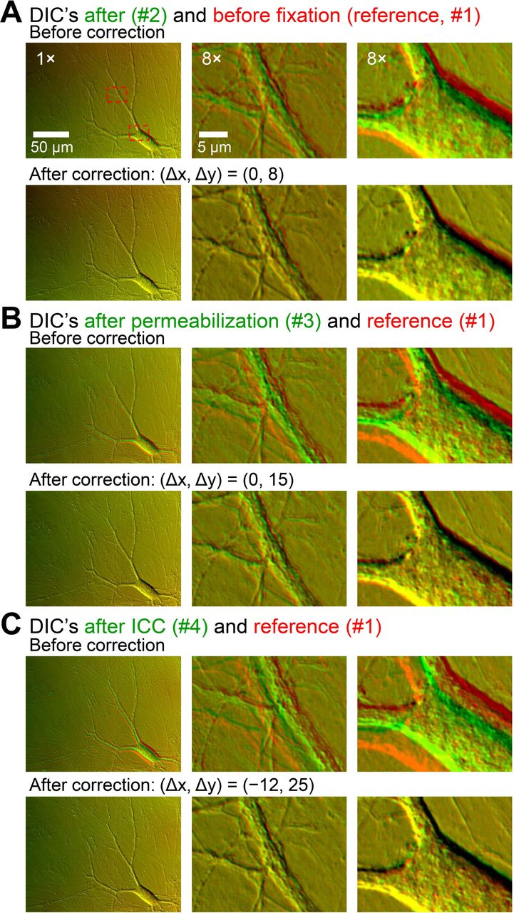 DIC-based corrections of image displacements during the full on-stage ICC. Images were acquired using a CCD camera with high spatial resolution but slow acquisition. Cultured mouse hippocampal neurons were imaged with DIC optics. All panels represent overlays of two images. The DIC image acquired during live-cell imaging (image #1) was used as a spatial reference image and was pseudo-colored red in all panels. DIC images were further acquired during later procedures: immediately after completing chemical fixation (image #2, A ), immediately after membrane permeabilization (image #3, B ), and after completion of ICC procedures (image #4, C ). These test images were pseudo-colored green. In A, B, C , top and bottom rows represent overlays before and after correcting the displacements, respectively. Displacements between two images appear as red or green, and no displacements appear yellow. The degree of displacement, and therefore the degree of required correction, is indicated by how much the test image had to be translated laterally along the x- and y-axes to match the reference image [(Δx, Δy) in pixels]. For a simple demonstration, the illustrated images were selected from the ones acquired without fluorescent filters.