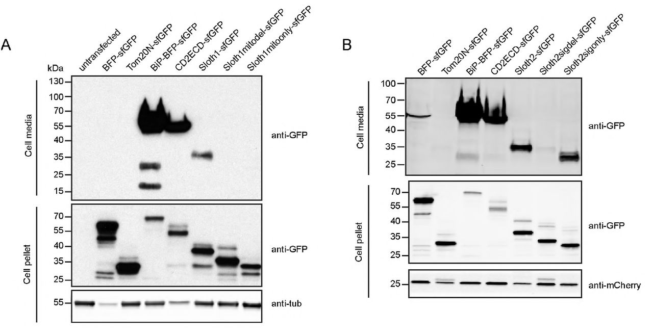 Related to Figure 6. A-B. Western analysis of cell culture media or cell pellets from transfected S2R+ cells. Act-Gal4 was cotransfected with indicated UAS -plasmids. A. Secretion analysis of Sloth1. B. Secretion analysis of Sloth2.