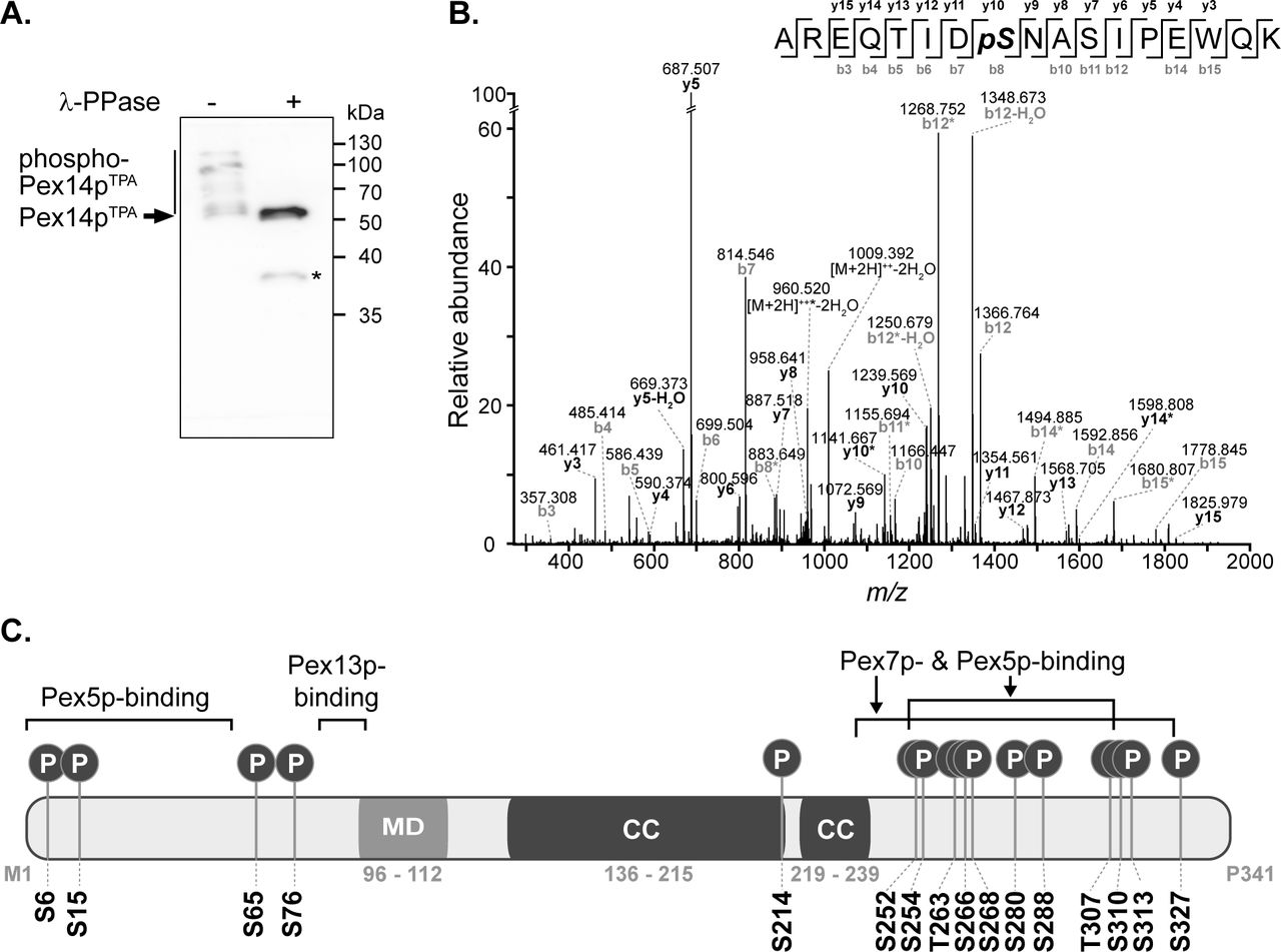 Pex14p is multiply phosphorylated  in vivo . ( A ) TPA-tagged Pex14p (Pex14p TPA ) expressed from its native chromosomal location was affinity-purified from a Triton X-100-solubilized crude membrane fraction of yeast cells grown in oleic acid-containing medium. Affinity chromatography was performed using IgG-coupled Sepharose and proteins were eluted with glycine (pH 2.4). Proteins from phosphatase (λ-PPase)-treated (+) and untreated (-) samples were analyzed by Phos-tag SDS-PAGE and immunoblotting using anti-Pex14p antibodies. Note that also non-phosphorylated proteins generally migrate slower in Phos-tag gels compared to normal SDS gels (  Kinoshita et al., 2009 ). *, Pex14p degradation band. ( B ) Representative MS/MS spectrum showing phosphorylation of Pex14p at S310 (AREQTIDpSNASIPEWQK;  m/z  1027.474; z = +2). *, fragment ion with neutral loss of H 3 PO 4 . ( C ) Schematic representation of Pex14p showing the localization of  in vivo  phosphorylation sites. Phosphorylation at S6, S15, S76, T263, and S327 are reported here for the first time. MD, predicted membrane domain (according to   Azevedo and Schliebs, 2006 ). Pex5p-, Pex7p-, and Pex13p-binding regions are depicted according to   Azevedo and Schliebs (2006) . Please note that alternative Pex14p-Pex13p binding sites have been proposed (  Schell-Steven et al., 2005 ). While a second Pex14p interaction site has been mapped for Pex13p (  Schell-Steven et al., 2005 ;   Williams and Distel, 2006 ), an additional Pex13p binding site in Pex14p has not yet been reported. Coiled-coil (CC) domains were predicted using PredictProtein (  Rost et al., 2004 ).