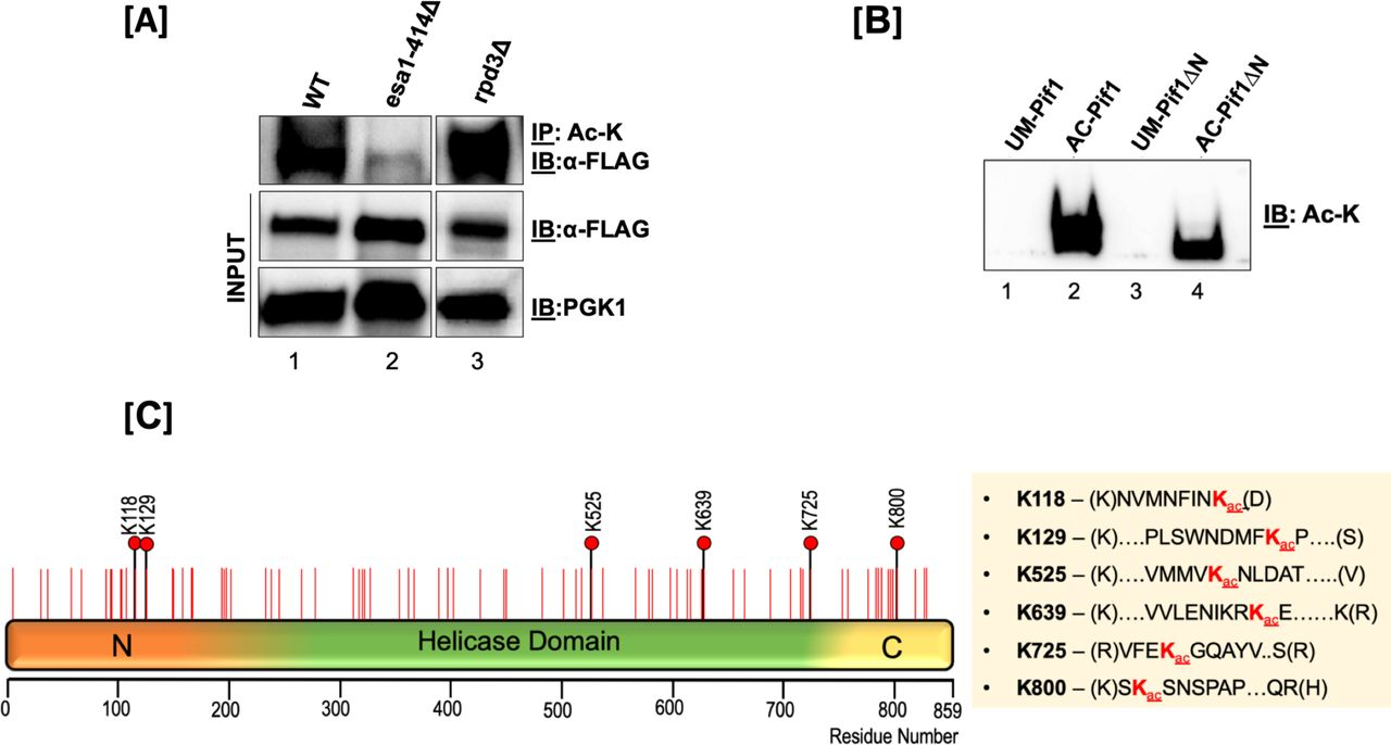 Pif1 is acetylated both in vivo and in vitro . [A] Top Panel : S. cerevisiae lysates from WT (lane 1), esa1-414 (lane 2), and rpd3Δ (lane 3) backgrounds were immunoprecipitated with anti-acetyl lysine (ac-K) antibody-coated Protein <t>G-dynabeads</t> and immunoblotted with anti-FLAG antibody (1:1000); middle Panel : 10% of input immunoblotted with the anti-FLAG antibody and; bottom panel : PGK-1 antibody (1:10,000). [B] Immunoblot of unmodified Pif1 (lane 1), NuA4 (Esa1) in vitro -acetylated full-length Pif1 (lane 2), unmodified Pif1ΔN, and NuA4 (Esa1) in vitro -acetylated Pif1ΔN probed with anti-Ac-K antibody. [C] Schematic of the full-length Pif1 sequence. The positions of all of the lysine residues in the sequence are denoted with red lines, and all acetylated lysine residues identified by mass spectrometry are denoted with black lines and red filled circles.
