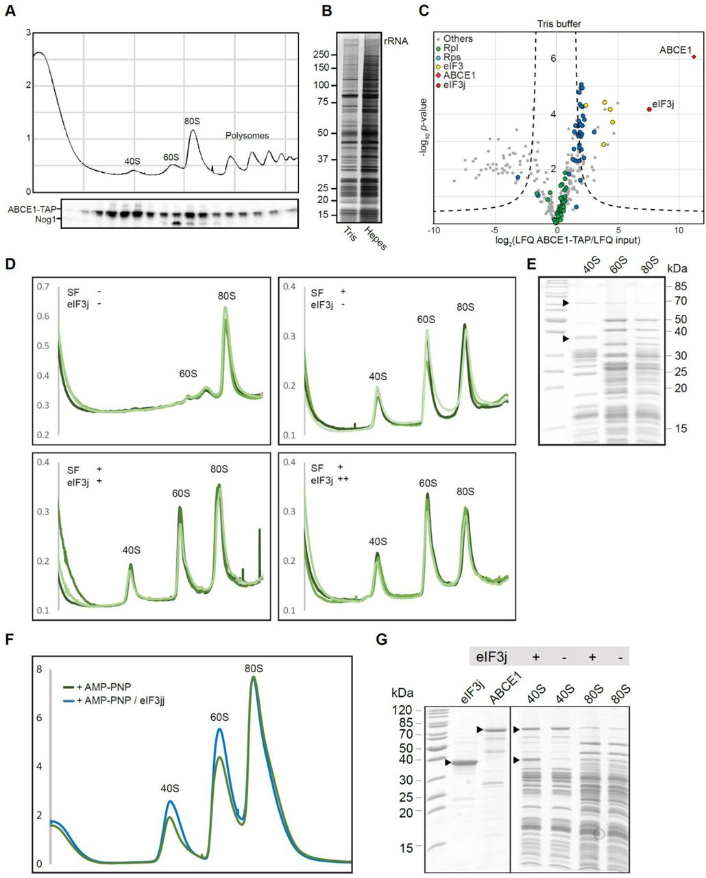 """Enrichment of ABCE1 and eIF3j on 40S complexes and assessment of their role in splitting of 80S ribosomes (A) Total cellular extracts from yeast cells expressing ABCE1-TAP were separated on a sucrose gradient (10–50%) by ultracentrifugation. Proteins of each fraction were analyzed by Western blot using a PAP antibody for the detection of the ABCE1-TAP fusion protein and anti-Nog1 antibody to mark the 60S fraction. (B) Silver stained NuPAGE gel showing elution from affinity purification using ABCE1-TAP performed in Tris or Hepes buffer (see methods for details). (C) Volcano plot showing the fold enrichment of proteins in the elution fraction from the ABCE1-TAP purification in Tris buffer followed by mass spectrometry analysis (LC-MS/MS). The enrichment was calculated relative to an """"input"""" corresponding to an aliquot of the ABCE1-TAP cell lysate used for the affinity purification. It is represented, on the x-axis, as log 2 (LFQ ABCE1-TAP/LFQ input) where LFQ stands for label-free quantification. The y-axis represents the P-value distribution (-log 10 -p -value) calculated using the Student's t-test for all identified proteins represented by a circle. Proteins above the curved lines show a statistically significant enrichment according to the t-test value. The assay was performed in triplicates. (D) UV-profiles from in vitro splitting reaction triplicates with and without splitting factors (SF; ABCE1, Dom34, Hbs1 and eIF6) and eIF3j. Samples were separated on a sucrose gradient (10–50%) by ultracentrifugation. (E) SDS-PAGE of the 40S, 60S and 80S peaks obtained from the i n vitro splitting experiment (D) containing SFs and high amounts of eIF3j. (F) UV-profiles from in vitro """"facilitated"""" splitting reactions. Samples were separated on a sucrose gradient (10–50%) by ultracentrifugation. (G) SDS-PAGE of the input factors (eIF3j and ABCE1) as well as 40S and 80S peaks from the """"facilitated"""" splitting experiment."""