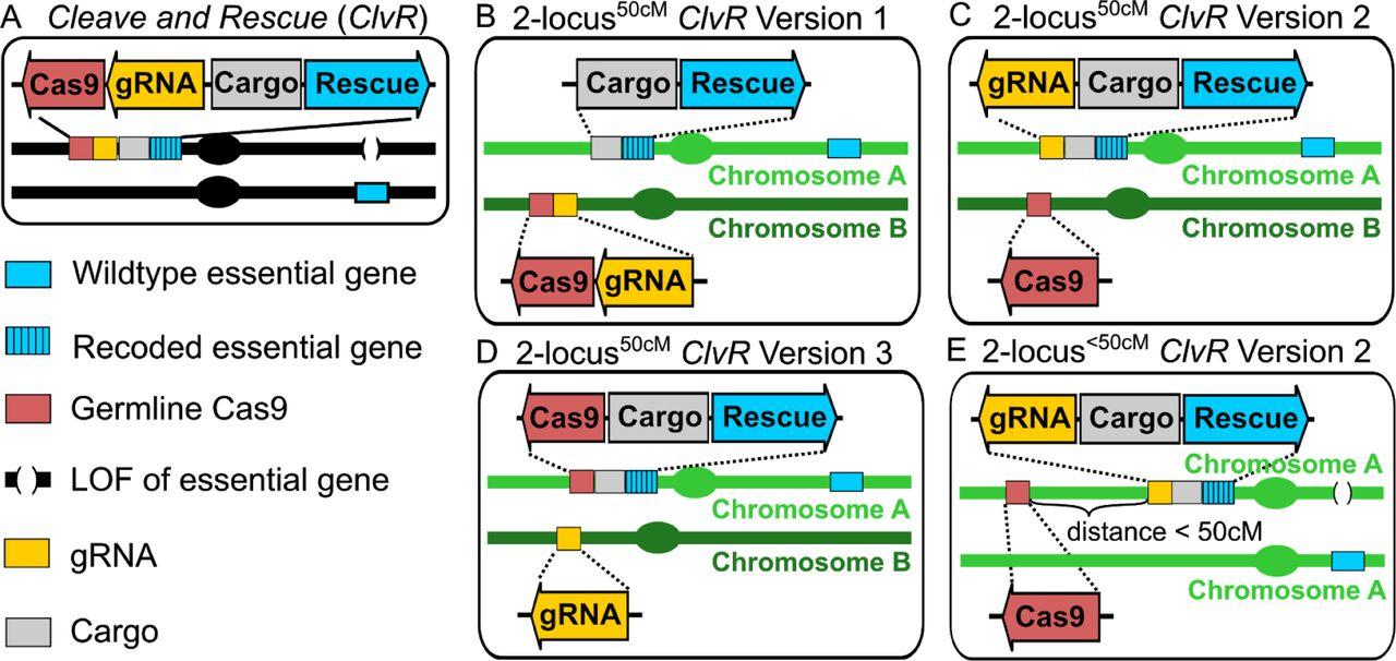 1- and 2-locus ClvR configurations. (A) 1-locus ClvR . (B) 2-locus ClvR 50cM Version 1, in which Cargo/ Rescue and Cas9/gRNAs are on separate chromosomes, and thus show independent segregation (map distance of 50 cM (centi Morgan)) during meiosis. (C) 2-locus 50cM ClvR Version 2, in which Cas9 is on a different chromosome from gRNAs/Cargo/ Rescue. (D) 2-locus ClvR 50cM Version 3, in which gRNAs are on a different chromosome from Cas9/Cargo/ Rescue . (E) 2-locus ClvR