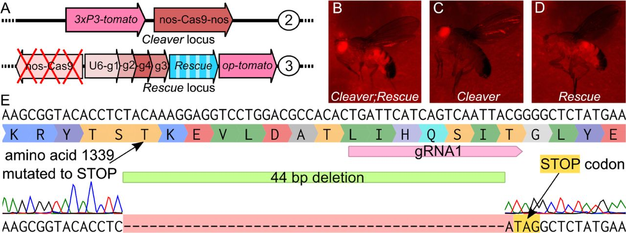 2-locus ClvR constructs, markers and alignment of Cas9 mutation. (A) Schematic of 2-locus ClvR constructs. The Cleaver (Cas9) is on the 2nd chromosome, Rescue /Cargo/gRNAs are on the 3rd. (B-D) Marker expression in different genotypes. (B) Cleaver;Rescue fly expressing eye-specific ( 3xP3 ) and ubiquitous ( OpIE ) td-tomato , (C) Cleaver -only fly expressing eye-specific td-tomato (D) Rescue -only fly expressing ubiquitous td-tomato . (E) Cas9 LOF mutation in original ClvR tko locus. The sequence alignment shows the mutation induced.