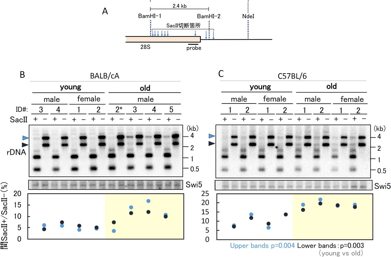rDNA methylation in old and young bone marrow cells rDNA methylation was detected by digestion with a methylation sensitive enzyme SacII. ( A ) Position of the probe for Southern blot analysis in ( BC ) and recognition sites for BamHI and SacII. ( BC ) Ratio of methylated rDNA copies in young and old mice. (Top panel) Southern analysis to detect the ratio of undigested band by SacII. The positions of undigested bands are indicated by arrowheads on the left-hand side of the panels. (Middle panel) Detection of the SWI5 gene as a loading control. A single copy gene SWI5 was detected on the same filter used in the upper panel. (Bottom panel) Analysis of rDNA that failed to digest with SacII. The signal intensities of the undigested rDNA (SacII+) and non-digested (SacII-) bands were measured and the ratios plotted. The black dots show the results for the lower bands (black arrowhead, in the Top panel) and the blue dots are for the upper bands (blue arrowhead in the Top panel). ID# is the identification number of individual mice that were used to isolate the bone marrow cells (same as Figure 2 ). p values are calculated from the average of young and old mice.