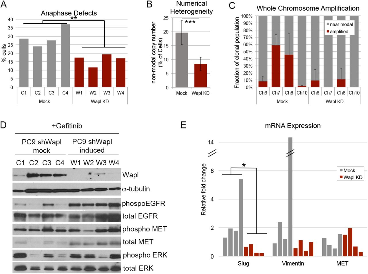 Suppression of CIN influences mechanisms of drug tolerance. A) Quantification of anaphase cells exhibiting lagging chromosomes in clonal populations of drug tolerant cells with (Wapl KD) or without (Mock) Wapl depletion. B C) Gefitinib-tolerant PC9 cell clones derived with or without Wapl depletion labelled with centromere enumeration FISH probes for chromosomes 6, 7, 8, and 10 and quantified for intratumor numerical heterogeneity. D) Western blot showing Wapl levels and EGFR pathway status in four each of mock and Wapl-depleted drug tolerant clones. E) qPCR analysis of mRNA levels indicative of EMT pathway activation (slug, vimentin) and MET expression in mock and Wapl-depleted drug tolerant clones.