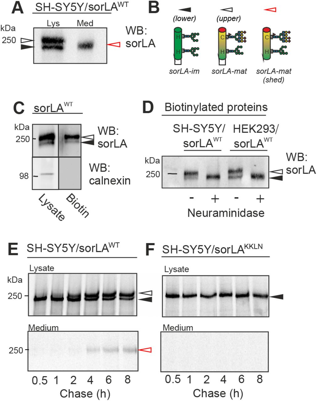 Two sorLA variants found at the cell surface but only one is shed. (A) WB analysis of lysate and conditioned medium from SH-SY5Y cells stably transfected with sorLA WT . (B) Schematic representation of proposed N -glycosylation variants for two molecular species of sorLA (mature: arrow open, and immature: arrow filled) in lysates and one in medium (mature shed: arrow red). The high molecular weight form (upper band; sorLA-mat) carries a mixture of mature complex-type (C) and high-mannose (H) N -glycans, whereas the low molecular weight form (lower band; sorLA-im) only carries immature high-mannose N -glycans. (C) Cell surface proteins from SH-SY5Y cells expressing exogenous sorLA WT were labeled with biotin and precipitated using Streptavidin coated beads. The biotinylated proteins together with total lysates were analyzed using SDS-PAGE and WB for sorLA and calnexin (ER marker). (D) Eluates of biotinylated cell surface proteins from SH-SY5Y and HEK293 cells expressing exogenous sorLA WT treated (+) or not (-) with neuraminidase after precipitation using Streptavidin coated beads as indicated. (E, F) SH-SY5Y cells expressing either sorLA WT or sorLA KKLN were subjected to a [ 35 S] pulse-chase protocol in order to follow the maturation over time. Cells were harvested at the indicated time points, and sorLA protein from lysate and medium was immunoprecipitated, separated by SDS-PAGE analysis, and visualized by radiofluorography. Signals in WB for lysates for sorLA-mat and sorLA-im are indicated with white and black arrowheads, and for shed sorLA in medium with a red arrowhead, respectively.