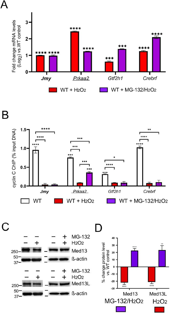 Release of cyclin C from promoters does not require Medl3/Medl3L degradation. RT-qPCR (A) and ChIP analysis (B) for the cyclin C repressed genes indicated following H 2 O 2 /MG-132 treatment. ChIP data are shown as percent input DNA compared to a non-specific control (GFP antibody). H 2 O 2 treated WT control is from Fig. 1 to aid in comparing results. (C) Med13 and Med13L levels were monitored by Western blot analysis in MEFs following exposure to H 2 O 2 and MG-132 as indicated, β-actin was used as the internal loading control. (D) The ratios of Med13 and Med13L signals to the β-actin internal control were calculated then compared WT untreated control (n=3). Statistical significance is indicated by the following: * p-value