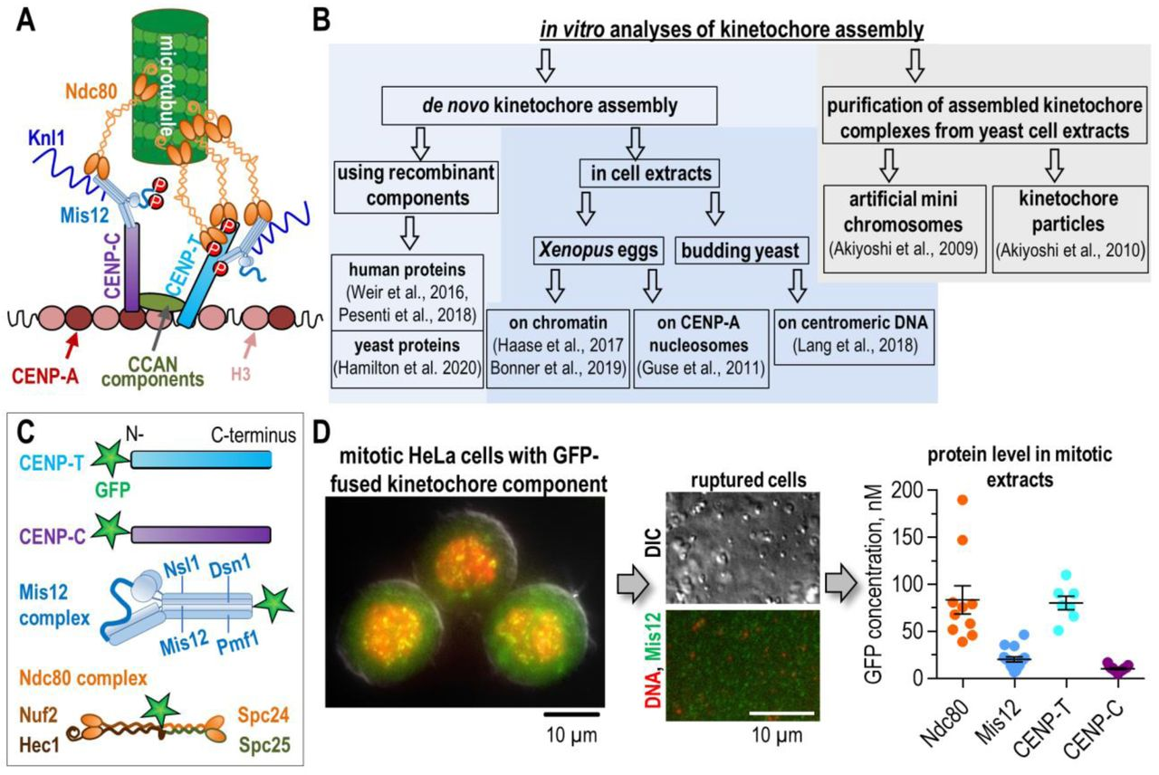 """Strategies for reconstructing kinetochores and our experimental approach. (A) Principal architecture of mitotic kinetochore and its binding to microtubules; see text for details. CCAN, constitutive centromere associated network. Letters """"P"""" on CENP-T indicate phosphorylation-dependent activation of its binding to Ndc80 and Mis12 complexes; letters """"P"""" on Mis12 indicate phosphorylation-dependent activation of its binding to CENP-C. (B) Previous experimental approaches to reconstitute kinetochore assembly and function in vitro ; see text for additional references. (C) Schematic of GFP-fused proteins stably expressed in HeLa cells. Experiments with Ndc80 complexes used three different cell lines: Nuf2-GFP (shown), GFP-Spc24, and GFP-Spc25. (D) Key steps of our experimental approach. Left image shows representative HeLa cell that was fixed and stained with propidium iodide to reveal DNA; green signal is from Mis12-GFP. Ruptured cells (images in the middle) were centrifuged to remove insoluble cellular components. Graph shows concentration of GFP-fused kinetochore proteins in clarified cell extracts. Each colored point represents average bead brightness from independent experiments, during which 50–100 beads were analyzed. For more detailed statistics, see Source data. Black lines show mean with standard error of the mean (SEM). The column for native Ndc80-GFP combines data from cell lines expressing GFP-fused Nuf2, Spc24, and Spc25."""