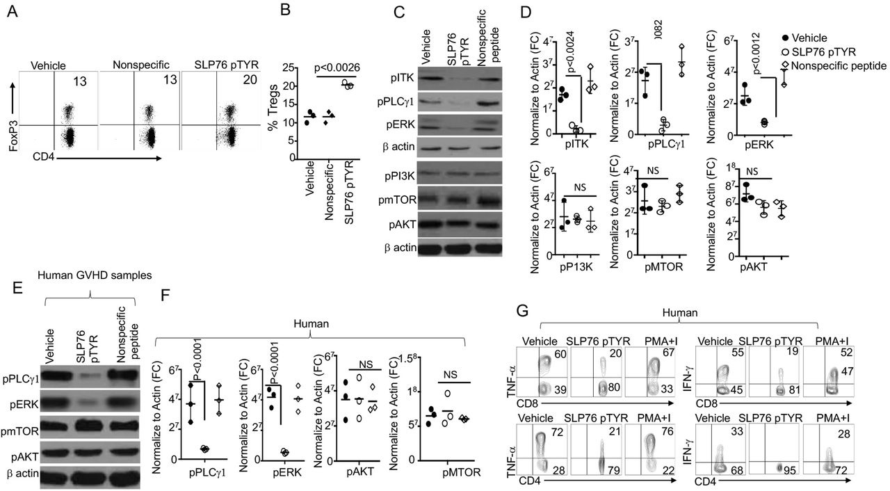 Novel peptide SLP76pTYR specifically targets ITK signaling and enhances Treg cell development. (A) Total T cells stimulated in the presence of SLP76pTYR or vehicle alone were examined for CD4 + and FoxP3 + . n=3 one representative experiment shown. (B) Quantification of three experiments as in (A). (C) Cell lysates from T cells stimulated in the presence of SLP76pTYR or vehicle alone were examined for phosphorylation of ITK, PLCγ1 and ERK. Lysates were also examined for phosphorylation of PI3K, mTOR, P13K, and AKT. n=3 one representative experiment shown. ( D ) Western blots were normalized to β−Actin and quantitative data from 3 independent experiments presented. ( E ) Human GVHD patients' samples were cells stimulated in the presence of SLP76pTYR or vehicle only. T cell lysates were used in western blots for analysis of pPLCγ, pERK, pAKT, pMTOR, and (H) three experiments were quantitated and normalized to β−Actin. n=3, one representative experiment shown. ( G ) Primary human T cells purified from PBMC were stimulated with CD3 and CD28 for 5 hours in the presence of vehicle alone or SLP76pTYR in the presence BFA. Intracellular IFN-γ and TNF-α expression by CD8 + and CD4 + T cells was determined by flow cytometry. For statistical analysis we used two-way ANOVA and Student's t test. P values are presented.