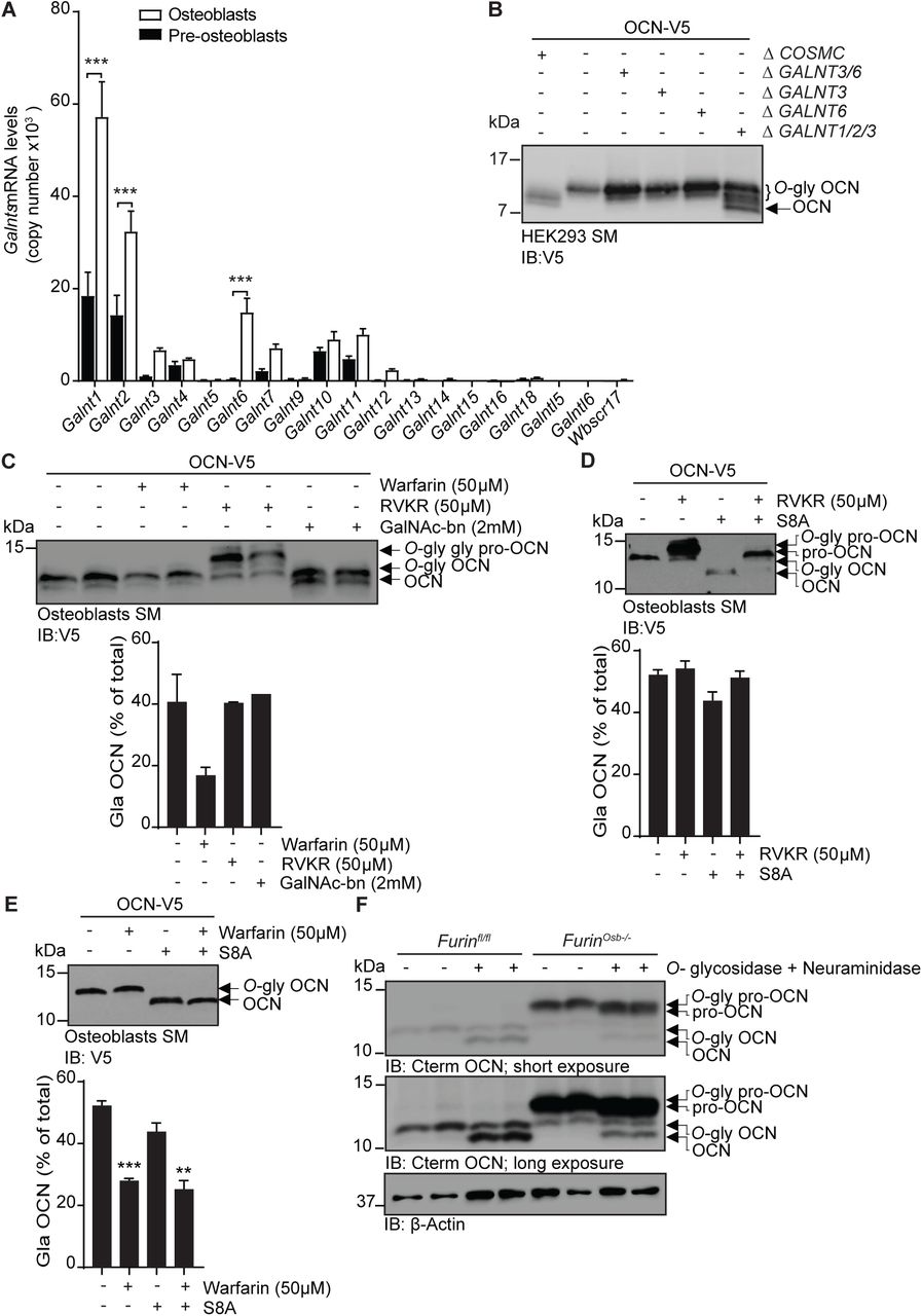 OCN O-glycosylation by N-acetylgalactosaminyltransferase (GalNAc-Ts) is independent of its processing and γ-carboxylation. (A) Galnts expression in pre-osteoblasts (undifferentiated) and osteoblasts (differentiated) by quantitative PCR. Results are represented as copy number of Galnts normalized to Actb. (B) Western blot analysis of OCN in the secretion media (SM) of HEK293 cells deficient for specific GalNAc-Ts. OCN-V5 was transfected in parental, COSMC-/- (ΔCOSMC), or GALNTs deficient (Δ) HEK293 cells and analysed by Western blot using anti-V5 antibody. (C) Western blot analysis on the secretion media (SM) of osteoblasts transfected with mouse OCN-V5 and treated or not with 2 mM of GalNAc-bn, 50 μM warfarin or 50 μM Dec-RVKR-CMK (RVKR) (upper panel), and percentage of carboxylated OCN (Gla OCN) over total OCN measured by ELISA (lower panel). (D) Western blot analysis on the secretion media (SM) of osteoblasts transfected with mouse OCN-V5 containing or not the S8A mutation and treated with 50 μM Dec-RVKR-CMK (RVKR) (upper panel), and percentage of carboxylated OCN (Gla OCN) over total OCN measured by ELISA (lower panel). (E) Western blot analysis on the secretion media (SM) of osteoblasts transfected with mouse OCN-V5 containing or not the S8A mutation and treated with 50 μM warfarin (upper panel), and percentage of carboxylated OCN over total OCN measured by ELISA (lower panel). (F) Western blot analysis of OCN deglycosylation assay on bone extracts from Furin fl/fl and Furin Osb-/- mice. Bone extracts were treated or not with O-glycosidase and neuraminidase for 4 hours at 37°C and analyzed by Western blot using anti-C-termimal OCN antibody (Cterm OCN). ** p