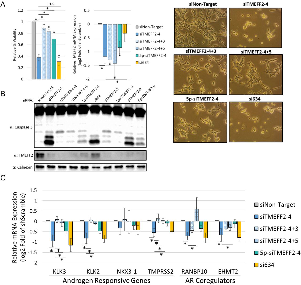AR coregulatory gene downregulation and decrease in PCa cancer cell viability are shRNA seed mediated. ( A ) Relative percent viability and TMEFF2 mRNA expression in LNCaP cells transfected with siTMEFF2-4 and control siRNAs (siNon-Target; Negative seed controls: siTMEFF2-4+3, siTMEFF2-4+5, 5p-siTMEFF2-4; Positive seed control: si634). 5p designates an ON-Target-Plus modification (Dharmacon) that blocks seed mediated gene downregulation. Cell viability was determined by trypan blue. mRNA expression was determined by RT qPCR using RPL8, RPL38, PSMA1 and PPP2CA housekeeping genes for normalization. Viability measurements, cell pictures and RNA extractions were done 72 hours after <t>siRNA</t> <t>transfections</t> N=4, error bars ±SD, * p