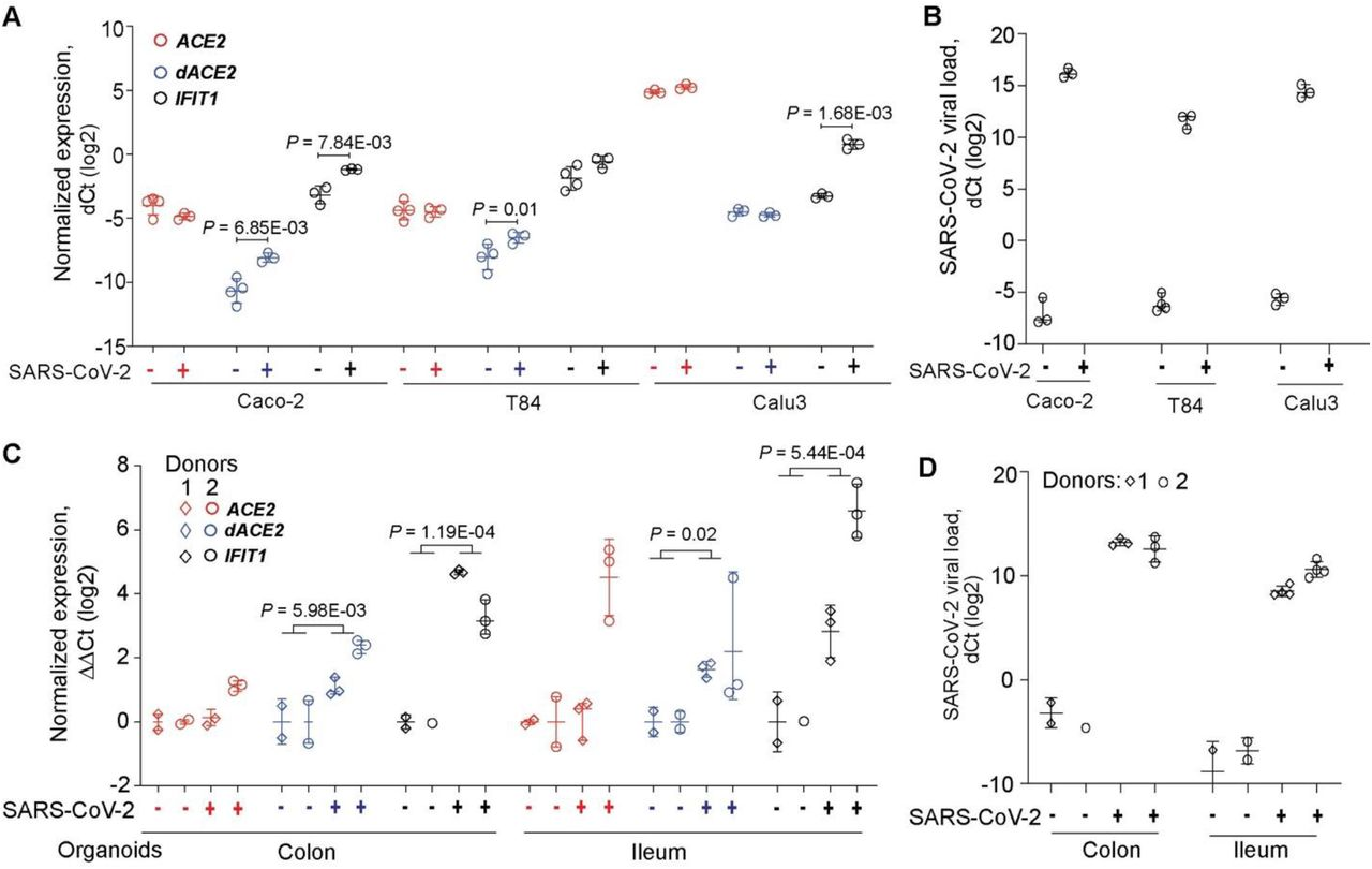 dACE2 is induced by <t>SARS-CoV-2</t> in human cell lines and organoid cultures. Expression of ACE2 , dACE2 and a control ISG IFIT1 in A) colon cancer cell lines Caco2 and T84 and a lung cancer cell line Calu3 and C) colon and ileum organoid cultures derived from two donors; B and D) SARS-CoV-2 viral loads in corresponding cells. P-values are for Student's T-test.