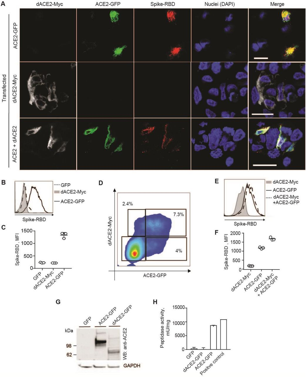 dACE2 is non-functional for binding SARS-CoV-2 spike protein RBD and as a carboxypeptidase. A) Representative confocal images of T24 cells transiently overexpressing dACE2-Myc (white), ACE2-GFP (green) and treated with receptor-binding domain (RBD) of SARS-CoV-2 spike protein (red), nuclei (DAPI)-blue; bars=20μM. B-D) Representative flow cytometry histogram B) and mean fluorescence intensity (MFI) values from 3 biological replicates C) of spike-RBD binding to the surface of ACE2-GFP but not dACE2-Myc expressing T24 cells. D) Representative flow cytometry plot showing gates for T24 cells co-transfected with dACE2-Myc and ACE2-GFP. Gates were drawn to identify cells expressing dACE2-Myc, ACE2-GFP, or both proteins. E) Histogram and F) plot depicting MFI of spike protein-RBD binding in gated cells from plot E , based on 3 biological replicates. Data represent one of two independent experiments. G) A representative Western blot showing detection of ACE2-GFP and dACE-GFP in protein lysates of T24 cells transfected with equal amounts of plasmids. Based on Western blot densitometry, equal estimated amounts of ACE2 and dACE2 proteins were used in peptidase activity assays in H . Results are based on 3 biological replicates.