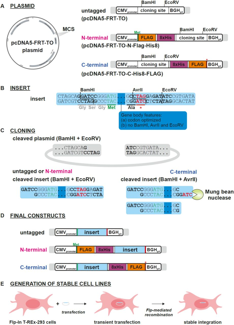 Schematics illustrating the cloning strategy. (A) The three parental vectors used for generating untagged, N-, and C-terminally tagged constructs. (B) Features common to all synthesized insert sequences. Each insert included <t>BamHI</t> and <t>EcoRV</t> sites at either end to facilitate cloning into the three parental vectors. To allow for C-terminal cloning, an AvrII site was inserted such that it overlapped the stop codon (see text for details). In order to accommodate the AvrII site, an alanine residue was added to the end of each expression construct. The viral ORFs were codon-optimized for moderate or high expression, and lacked BamHI, AvrII, and EcoRV sites. (C) For untagged and N-terminal tagging, inserts were digested with BamHI and EcoRV and ligated directly into plasmid precut with the same enzymes. For C-terminal cloning, the inserts were first digested with AvrII, blunted with Mung Bean Nuclease, and then cut with BamHI. The resulting fragment was ligated into plasmid cut with BamHI and EcoRV. (D) Untagged, N-, and C-terminally tagged expression constructs. (E) Strategy for generating stable cell lines (see text for details).