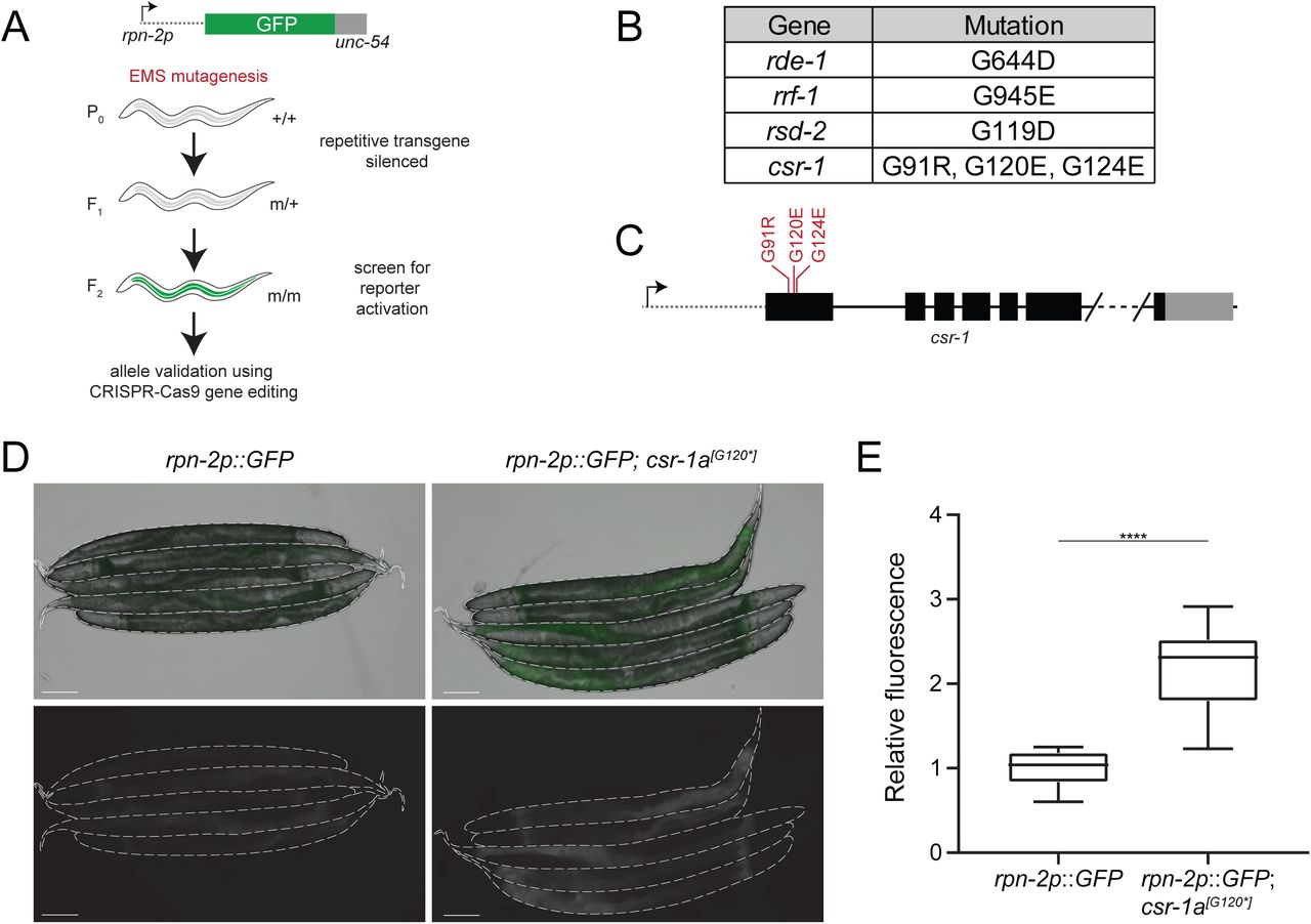 CSR-1a silences a repetitive somatic transgene. A) Schematic of the forward genetic screen used to uncover genes that repress rpn-2p::GFP expression. B) Viable alleles recovered from the forward genetic screen. C) Schematic representation of the csr-1a alleles recovered from the forward genetic screen. D) Fluorescence micrographs of the non-mutagenized reporter strain and the reporter after introduction of csr-1a [G120*] . Scale bar, 100μm. E) Box plot of normalized median relative fluorescence of the reporter strain and the reporter with csr-1a [G120*] strain (with Tukey whiskers). **** indicates significance of p