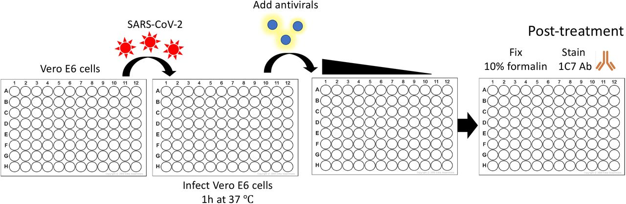 Schematic representation of the PRMNT assay to identify SARS-CoV-2 antivirals: Confluent monolayers of Vero E6 cells (96-well plate format, ~4 x 10 4 cells/well, triplicates) are infected with ~100-200 PFU of SARS-CoV-2 for 1 h at 37°C. Cells in rows 11 and 12 are incubated with virus only and mock-infected, respectively, and are used as internal controls in each of the plates. After 1 h viral absorption, cells are incubated with post-infection media containing 2-fold serial dilutions of the antivirals containing 1% Avicel. At 24 h p.i., cells are fixed with 10% formalin solution. After 24 h fixation, cells are washed 3X with PBS and incubated with 1 μg/mL of the SARS-CoV-1 cross-reactive NP mAb (1C7) at 37°C. After 1 h incubation with the primary mAb, cells are washed 3X with PBS and incubated with a secondary POD ( Fig. 5 ) or with IRDye 800CW goat anti-mouse IgG secondary Ab, and DRAQ5 ™ Fluorescent Probe Solution for nuclear staining ( Fig. 6 ) at 37°C. After 30 minutes incubation with the secondary POD Ab, cells are washed 3X with PBS and developed with the DAB substrate kit ( Fig. 5 ). Cells stained with the IRDye 800CW goat anti-mouse IgG secondary Ab are simultaneously incubated with DRAQ5 ™ Fluorescent Probe Solution for nuclear staining ( Fig. 6 ). Positive stained cells in each of the wells of the 96-well plate are quantified using an ELISPOT plate reader ( Fig. 5 ) or in the Odyssey Sa Infrared Imaging System ( Fig. 6 ). The effective concentration 50 (EC 50 ) is calculated as the highest dilution of the drug that prevents 50% plaque formation in infected cells, determined by a sigmo idal dose response curve ( Figs. 5 and 6 ).