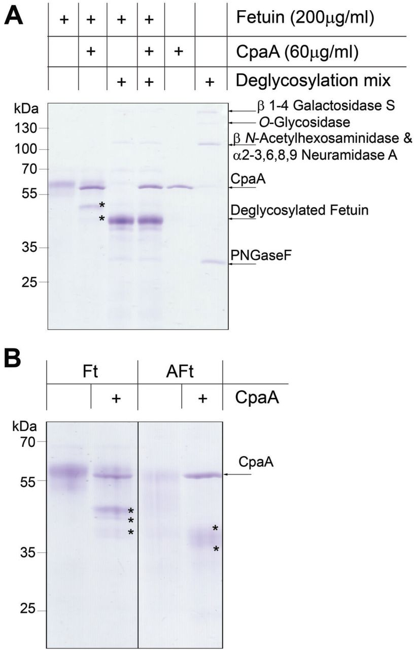 Fetuin glycosylation is required for CpaA activity. (A) Fetuin and fetuin treated with a deglycosylation mix were incubated with CpaA. Digestion products (indicated with an asterisk) are only observed for fetuin. (B) The presence of sialic acid does not affect CpaA activity. Ft: Bovine fetuin. Aft: asialofetuin.