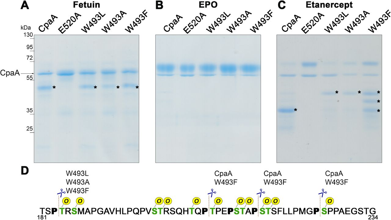 W493 affects CpaA activity. (A) Fetuin, (B) EPO and (C) Etanercept were incubated with purified CpaA and the different CpaA mutants (~55kDa). Samples were separated by SDS-PAGE stained with InstantBlue. Digestion products are indicated by an asterisk. These data are representative of at least 3 independent experiments. (D) Fragment of Etanercept protein sequence. MS analysis of proteins bands allowed the identification of the sites preferentially cleaved by the four CpaA variants. In green are all the known O -glycosylation sites and, in bold, the P next to the glycosites. The dashed line indicates the cleavage site of CpaA and the different point mutants.