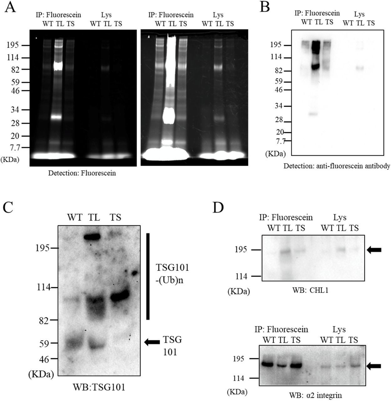 "Confirmation of partner molecules identified by MS proteomics. ( A ) Confirmation of candidate partner molecules (CD5L and PZP) with mouse CHL1 in EVs. The EMARS products of WT, TL, and TS were respectively applied to immunoprecipitation (anti-fluorescence antibody Sepharose) and western blot analysis with anti-CD5L (left panel) antibody. After the stripping as described in the "" Materials and methods "", the membranes were re-stained with anti-PZP antibody (right panel). Arrows indicate the detected band of CD5L and PZP proteins (including predicted dimer). Asterisks indicate unknown bands (predicted as non-specific or partial fragments). ( B ) Confirmation of candidate partner molecules (SLC4A1 and THBS1) with mouse CHL1 in EVs. The western blot analysis was performed with anti-SLC4A1 antibody (upper panel). After stripping, the membranes were re-stained with anti-THBS1 antibody (lower panel). Arrows indicate the detected band of SLC4A1 and THBS1 proteins (including predicted dimers). Asterisks indicate unknown bands (predicted as non-specific or partial fragments). ( C ) Western blot analysis of an independent experiment samples identical to Figure 4B with anti-SLC4A1 antibody. Arrow indicates the detected band of predicted dimer SLC4A1 protein. Asterisk indicates unknown non-specific bands. ( D, E ) Expression of SLC4A1 ( D ) and CHL1 proteins ( E ) in tumor tissues from two male and two female EML4-ALK transgenic mice. The fragments of lung cancer tissues were mashed and washed gently with PBS, and then lysed with SDS-PAGE sample buffer directly. The resulting samples were subjected to Western blot analysis with anti-SLC4A1 antibody and anti-CHL1 antibody. Arrows indicate the detected band of monomer SLC4A1 and CHL1 proteins."