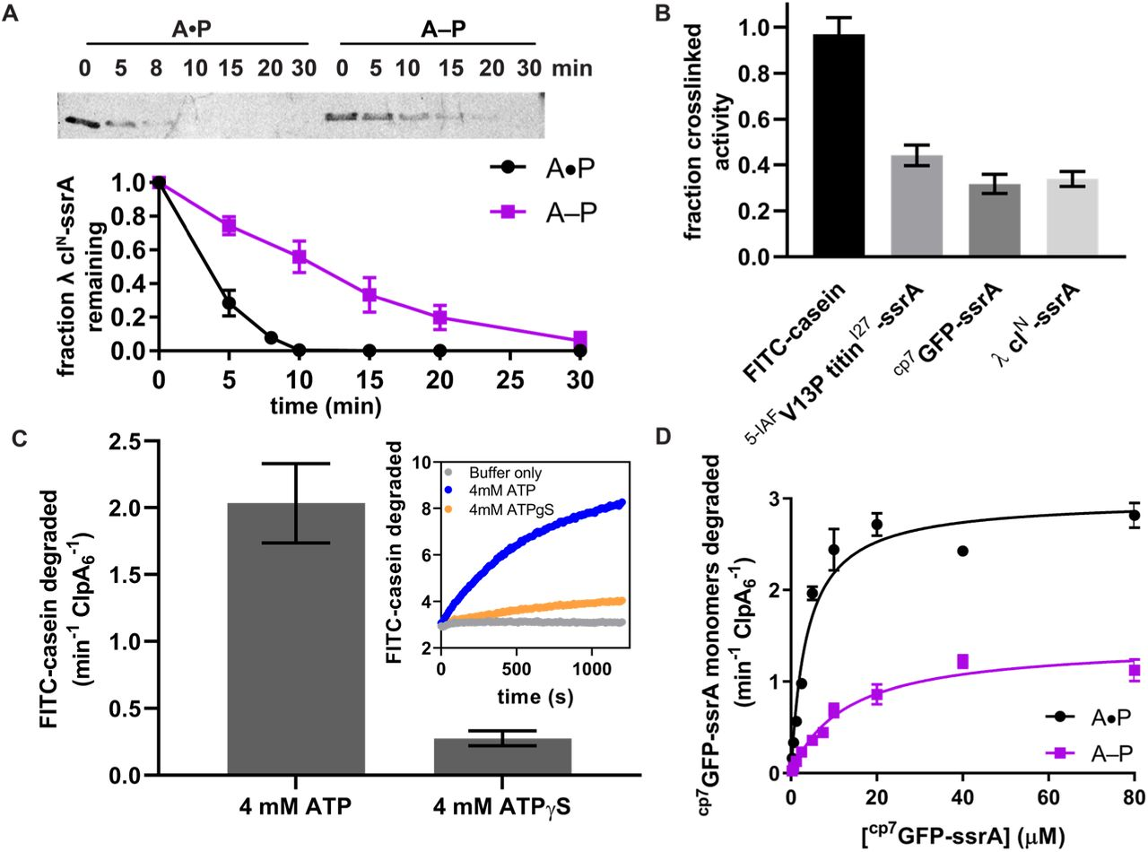ClpA–ClpP substrate degradation. ( A ) Top, SDS-PAGE assay of the kinetics of λ cI N -ssrA degradation by the uncrosslinked A•P control (containing equivalent concentrations of E613C ClpA ‡ and ClpP +C to the crosslinked pool) and the A–P pool Bottom, quantification of λ cI-ssrA degradation. Values are means ± 1 SD (n ≥ 3). ( B ) Degradation of substrates of varying thermodynamic stability (18µM FITC-casein, 5µM <t>5-IAF</t> titin V13P -ssrA, 20µM cp7 GFP-ssrA, 15 µM λ cl N -ssrA by the purified A–P pool. Fraction crosslinked activity was calculated by normalizing to the activity of the A•P sample. Values are means ± 1 SD (n ≥ 3). ( C ) Degradation of FITC-casein (18 µM) by the purified A–P pool in the presence of ATP or ATPγS. FITC-casein degraded was quantified by normalizing the relative fluorescence units to the total FITC-casein degraded upon porcine elastase addition at the endpoint of the assay and subtracting the contributions of photobleaching from the buffer-only control. Values are means ± 1 SD (n ≥ 3). The inset shows representative kinetics of FITC-casein degradation assay. ( D ) Michaelis-Menten analysis of cp7 GFP-ssrA degradation kinetics by the A–P pool and A•P control. Values are means ± 1 SD (n ≥ 3). For the A–P pool, Vmax was 1.4 ± 0.07 min -1 ClpA6 -1 , K M was 13 ± 1.6 µM, and R 2 was 0.96; for the A•P control, the Vmax was 3.0 ± 0.10 min -1 ClpA6 -1 , K M was 3.7 ± 0.5 µM, and R 2 was 0.96, where the errors are those of non-linear least-squares fitting to the Michaelis-Menten equation.