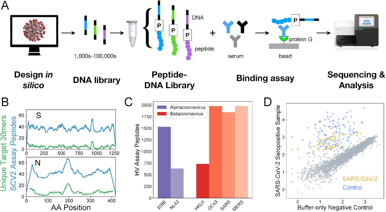 Epitope-resolved CoV serology using a highly-multiplexed peptide-based assay ('PepSeq'). A) Platform for customizable highly-multiplexed peptide-based serology, comprising the following steps: (i) in silico design, (ii-iii) generation of a library of DNA-barcoded peptides from oligonucleotide templates using bulk in vitro reactions (transcription, ligation of a Puromycin (P)-containing adapter, translation, reverse transcription), (iv) serum binding assay and protein G capture, and (v) sequencing and analysis of the distribution of binders by their DNA barcodes. B) Peptide coverage depth across the SARS-CoV-2 spike (S) and nucleocapsid (N) proteins within the 'SCV2' peptide library. Peptide coverage depth (blue) correlates well with amino acid sequence diversity within the target SARS-CoV-2 sequences (green), calculated as the number of unique 30mers. C) Number of peptides within the HV library that were designed from each of the six human coronaviruses known prior to 2019. D) Example scatter plot illustrating SCV2 PepSeq assay results for a single serum sample. This plot shows normalized sequence read counts (log10 scale) for each peptide in the SCV2 library. Assay results using an antibody-free negative control are shown on the x-axis, while the results from a SARS-CoV-2 convalescent serum sample are shown on the y-axis. Grey circles represent unenriched peptides, with a strong correlation between the two assays, based on the starting abundance of the different peptides. Colored circles represent SARS-CoV-2 (orange) and non-SARS-CoV-2 control (blue) peptides that have been enriched through interaction with serum antibodies.