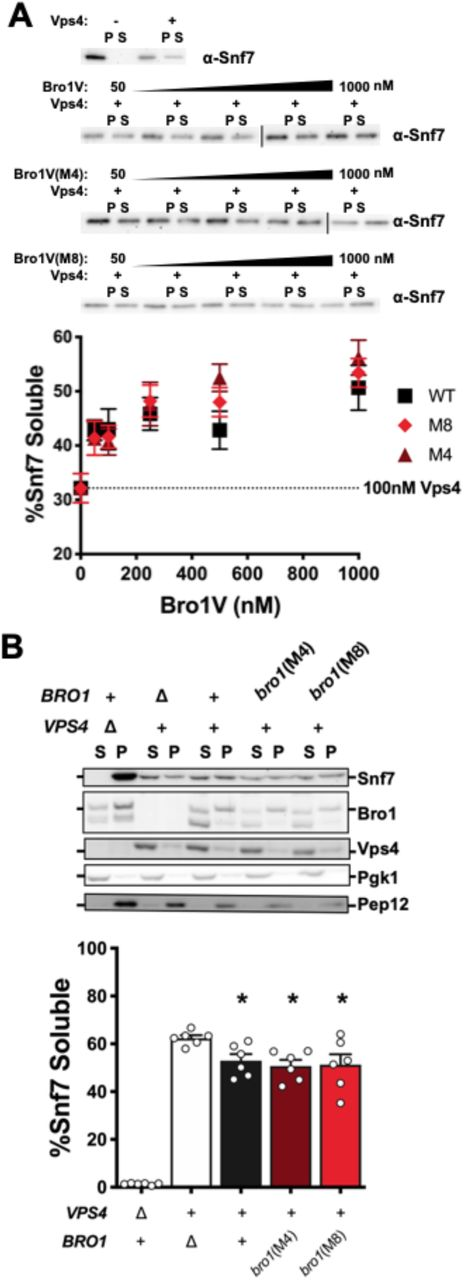 "Bro1V M4 and M8 are not defective in their ability to stimulate Vps4-dependent ESCRT-III disassembly in vitro or in vivo. (A) Bro1 V domains [Bro1V (black squares), Bro1V(M4) (dark red triangles), Bro1V(M8) (light red diamonds)] (50-1000nM) were titrated into Vps4-dependent ESCRT-III disassembly assay 16 , containing 100nM Vps4. Representative blots of Snf7 distribution between the pellet (P) and soluble fractions (S) are shown (upper panels). Quantification of three experiments with reactions performed in duplicates is designated as ""% Snf7 soluble"" (lower graph). Error bars indicate mean ± S.E.M. (B) Subcellular fractionation was performed in bro1Δ (GOY65) cells transformed with an empty vector or plasmids expressing BRO1, bro1(M4), or bro1(M8). vps4Δ (MBY3) cells were used as a control highlighting the distribution upon complete loss of Vps4 function. Representative Western blots showing fractionation of Snf7, Bro1, and Vps4 are shown. Pep12 and Pgk1 were used as membrane and soluble markers respectively. Quantification represents six experiments, error bars indicate mean ± S.E.M. Statistical significance is indicated relative to bro1Δ (*, p"