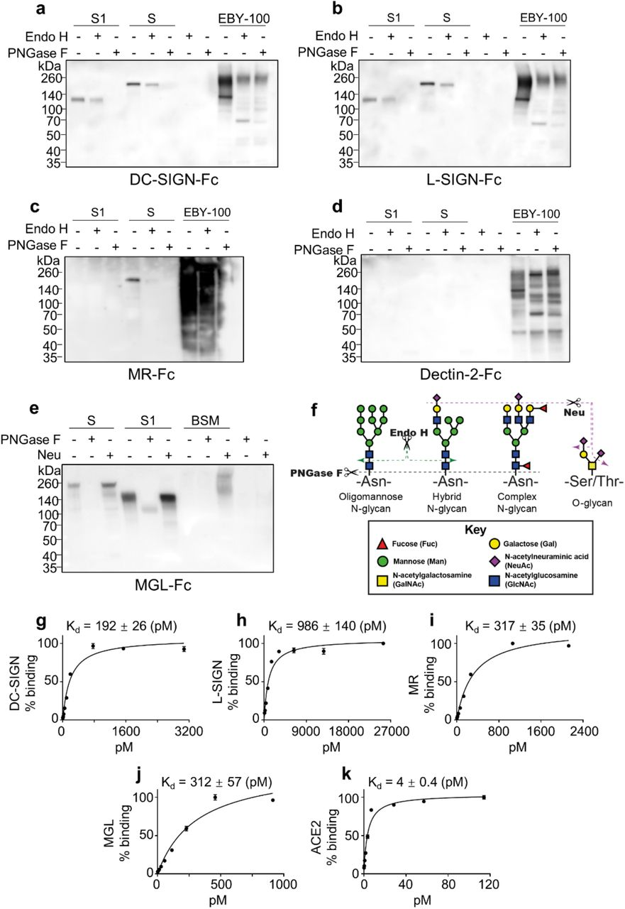 Binding of CLRs to the recombinant SARS-CoV-2 S. ( a-e ) Immunoblots with human Fc-fused CLRs DC-SIGN ( a ), L-SIGN ( b ), MR ( c ), Dectin-2 ( d ) and MGL ( e ) to detect recombinant S1 and S after mock enzymatic digestion or with Endo H, PNGase F or Neu digestion. As negative controls, these glycosidases were also included in some assays. EBY-100 represents the lysates of yeast strain EBY-100. BSM is the recombinant bovine submaxillary mucin. In all assays 5 mM Ca 2+ was included in solutions of CLRs. ( f ) Schematic presentation of the cleavage sites of Endo H, PNGase F and Neu on N- and O-glycans. Endo H cleaves the oligomannose and hybrid N-glycans, while PNGase F removes all N-glycans including the complex type. Neu removes all sialic acids on N- or O-glycans. ( g-k ) Affinity constant measurement for DC-SIGN ( g ), L-SIGN ( h ), MR ( i ), MGL ( j ) and ACE2 ( k ) by ELISA assay. The plates were coated by recombinant SARS-CoV-2 S trimer. Error bars represent SD of two replicates. The data were plotted as % binding relative to the saturated binding as 100%. In all assays 5 mM Ca 2+ and Tween-20 were included in solutions of CLRs.