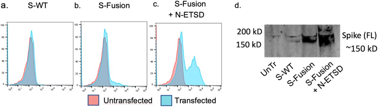 Immunoblot analysis of S expression. Cell surface RBD expression with (a) hAd5 S-WT, (b) S-Fusion, and (c) S-Fusion + N-ETSD in HEK 293T cells shows high correlation with (d) expression of S in immunoblots of HEK 293T cell lysates probed using anti-full length (S2) antibody. Y-axis scale is normalized to mode (NM).