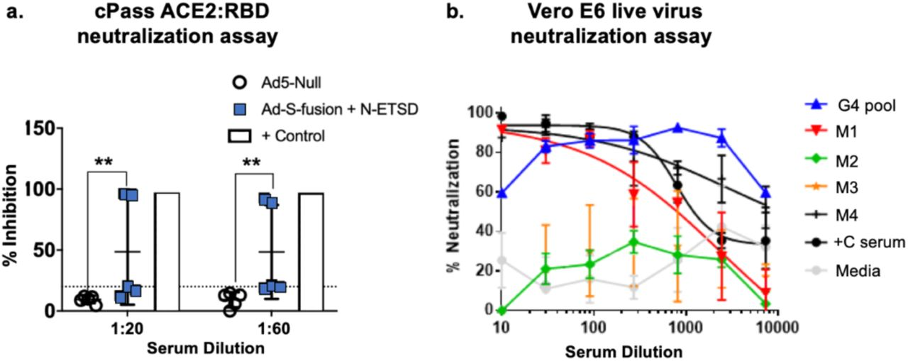 cPass and Vero E6 cell SARS-CoV-2 confirm neutralization by antibodies. (a) In the cPass assay, inhibition of S RBD interaction with ACE2 was significant at both 1:20 and 1:60 dilutions of serum from hAd5 S-Fusion + N-ETSD vaccinated mice. (b) The results in the Vero E6 cell SARS-CoV-2 viral infection for mice that showed S-specific antibodies by ELISA also showed high neutralization for mice and very high neutralization for pooled sera (G4 pool, blue line) even compared to COVID-19 convalescent serum. G4 pool – mice with S-specific antibodies; M1, M2, M3, M4 – mouse ID; +C – convalescent serum; and media – media only negative control.