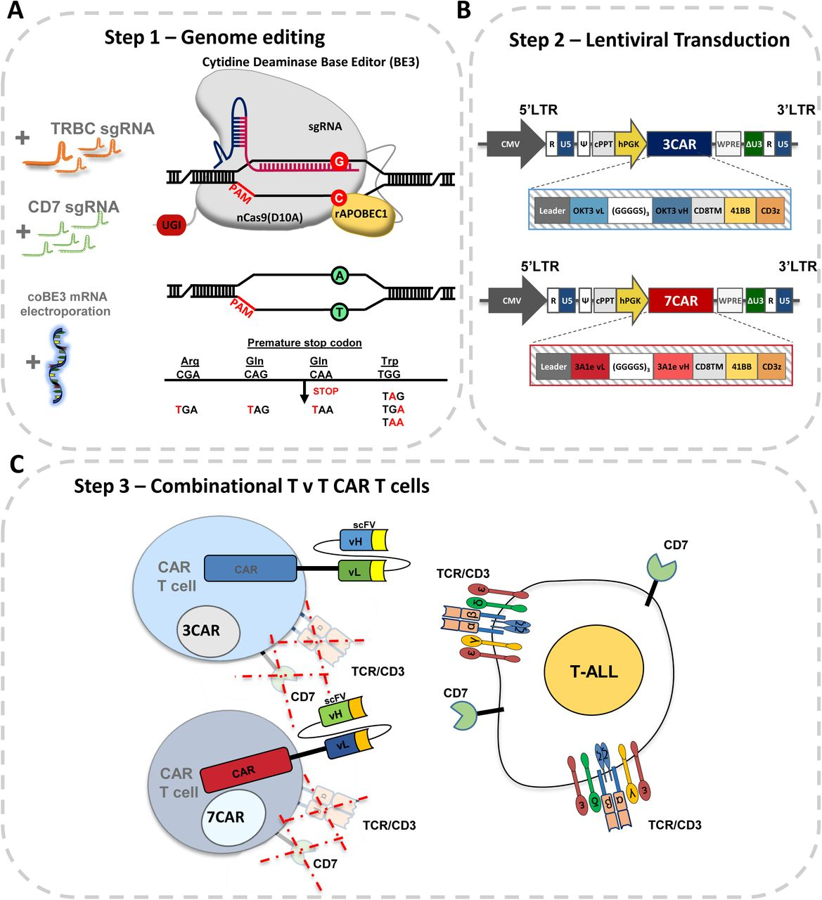 Generation of 'T v T' fratricide resistant CAR T cells. A) Schema of base editing for T cells employing 3 rd generation codon optimised cytidine base deaminase (coBE3) fused to deactivated D10A Cas9 nickase and uracil glycosylase inhibitor (UGI) delivered as mRNA along with TRBC and CD7 single guide RNA (sgRNA). C- > U- > T conversion (G- > A antisense strand) resulting in STOP codon. B) Lentiviral transduction of edited cells from step 1 using 3 rd generation lentiviral vectors. Lentiviral plasmid configuration of CD3ε targeting 2 nd generation chimeric antigen receptor comprising OKT3 vL and vH scFv sequence fused to CD8 transmembrane domain (TM), 41BB co-stimulatory and CD3z activation domains under the control of a hPGK promoter. Lentiviral plasmid configuration of CD7 targeting 2 nd generation CAR comprising 3A1e vL and vH scFv sequence fused to CD8TM-41BB-CD3z under the control of a hPGK. C) coBE3 edited T cells devoid of shared antigens TCR/CD3 and CD7 surface receptors expressing either 3CAR or 7CAR evade fratricide and target T-ALL. BE: base editor; APOBEC: (apolipoprotein B mRNA editing enzyme, catalytic polypeptide-like); sgRNA: single guide RNA; PAM: protospacer adjacent motif; LTR: long terminal repeat; CMV: cytomegalovirus promoter; CAR: chimeric antigen receptor; cPPT: central polypurine track; U5: untranslated 5' region; DU3: delta untranslated 3' region; hPGK: human phosphoglycerate kinase promoter; vL: variable light chain; vH: variable heavy chain.