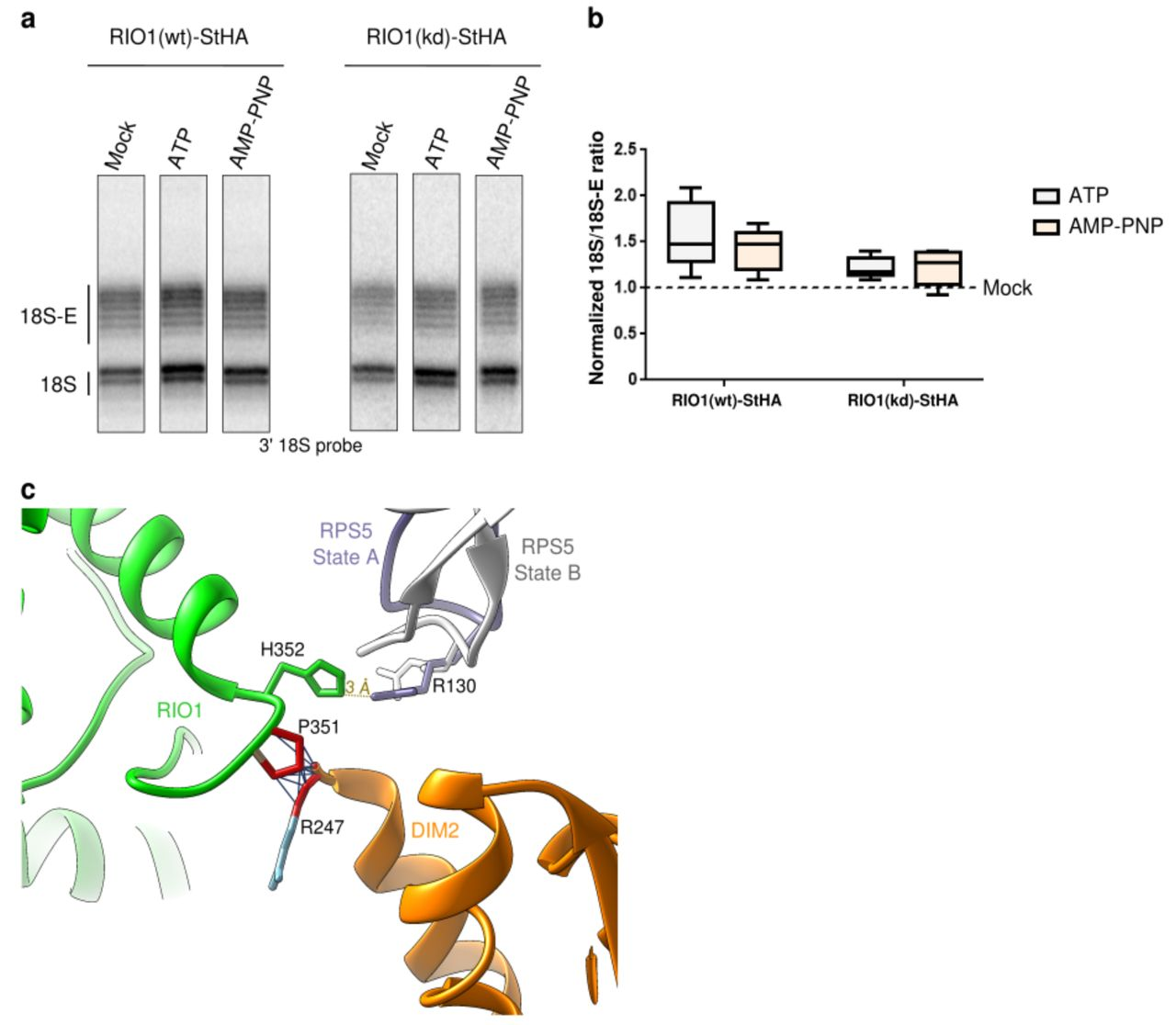 """In vitro cleavage of the 18S-E pre-rRNA within pre-40S particles is stimulated by ATP addition. HEK cell lines expressing tagged versions of wild-type RIO1 (RIO1(wt)) or of the catalytically-inactive RIO1 (kd) were treated with scramble or RPS26 siRNAs for 48h to enrich particles in state A. Pre-40S particles were purified and incubated in the presence of 1 mM ATP, 1mM AMP-PNP, or without nucleotide (mock condition). a , RNAse H assays were performed on the RNAs extracted from the particles. b , The variation of cleavage efficiency with the different nucleotides is indicated by the 18S/18S-E ratio and normalized to the mock-treated sample (set to 1). The data correspond to five independent experiments. Analysis of the results with a unilateral paired Wilcoxon test (""""sample greater than mock"""") indicates p-values of 0.031 for samples RIO1(wt)-ATP, RIO1(wt)-AMP-PNP, RIO1(kd)-ATP, and 0.063 for RIO1(kd)-AMP-PNP. c , Superimposition of atomic models of State A and B reveals overlapping distances (grey lines) between atoms of Proline 351 from RIO1 (green) and of Arginine 247 from DIM2 (orange). RPS5, which seems to be repositioned upon association of RIO1 / dissociation of DIM2 from the pre-40S particle, is shown in violet (State A) or white (State B)."""