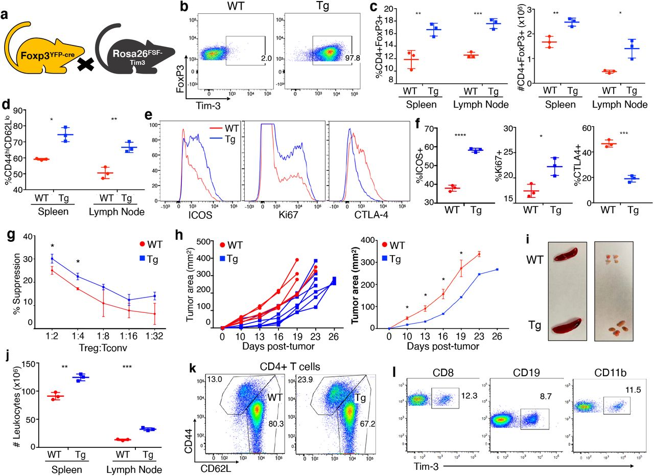 Phenotypic and functional effects of FoxP3-YFP-Cre-driven Tim-3 expression on Treg. (a) Crosses used to generate FoxP3-YFP-Cre x FSF-Tim-3 mice. (b) Efficiency of Tim-3 expression on Treg. Shown is a representative male mouse. Similar results were observed with Cre-homozygous female mice. (c) Ectopic Tim-3 expression via FoxP3-YFP-Cre resulted in an increase in the proportion of FoxP3 + cells among CD4 + T cells in spleen and lymph nodes. (d) Increase in activated Treg in the context of ectopic Tim-3 expression. (e-f) Expression of selected markers of Treg effector status and function in WT vs. Tim-3 Tg Treg. (g) In vitro suppression assay performed with FoxP3 − YFP-Cre + Treg sorted from Cre-only (WT) or Tim-3 Tg mice. (h) Growth of B16 tumors in WT vs. Tim-3 Treg Tg animals. Left – tumor growth in individual mice; right – average tumor growth. (i-j) Organ size and lymphocyte cell number of WT and Tim-3 Tg animals at eight weeks of age. (k) left – similar proportions of previously activated CD4 + T cells in spleen of WT vs. Tim-3 Tg animals. (l) Leaky expression of the Tim-3 transgene in multiple cell types from the spleen. Data are from a single experiment, representative of three experiments, with 3-4 mice per experiment, except for tumor experiments, which are representative of two experiments of 6-8 mice per experiment.