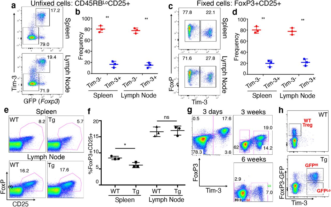 Evidence of partial Treg destabilization in the spleen after Tim-3 induction. (a-b) Expression of the Tim-3 transgene and GFP (as a surrogate for FoxP3) in unfixed Treg from FoxP3-eGFP-Cre-ERT2 heterozygous female mice. (c-d) Expression of the Tim-3 transgene and FoxP3 protein in fixed Treg. (e-f) Proportion of FoxP3 + CD25 + Treg among CD4 + T cells in spleen and lymph node, showing a slight but statistically significant decrease in the proportion of splenic, but not lymph node, Treg in the Tg animals, by six weeks of age after tamoxifen administration. (g) FoxP3 and Tim-3 expression among splenic CD4 + T cells at the indicated times after tamoxifen administration. Expression of Tim-3 is permanent once Cre-mediated recombination occurs at the modified Rosa26 locus, making Tim-3 expression a faithful fate-tracking reporter. (h) FoxP3-eGFP-Cre and Tim-3 expression in WT (Cre-only) vs. Tim-3 Tg Treg, indicating the three cell populations sorted for RNA sequencing.