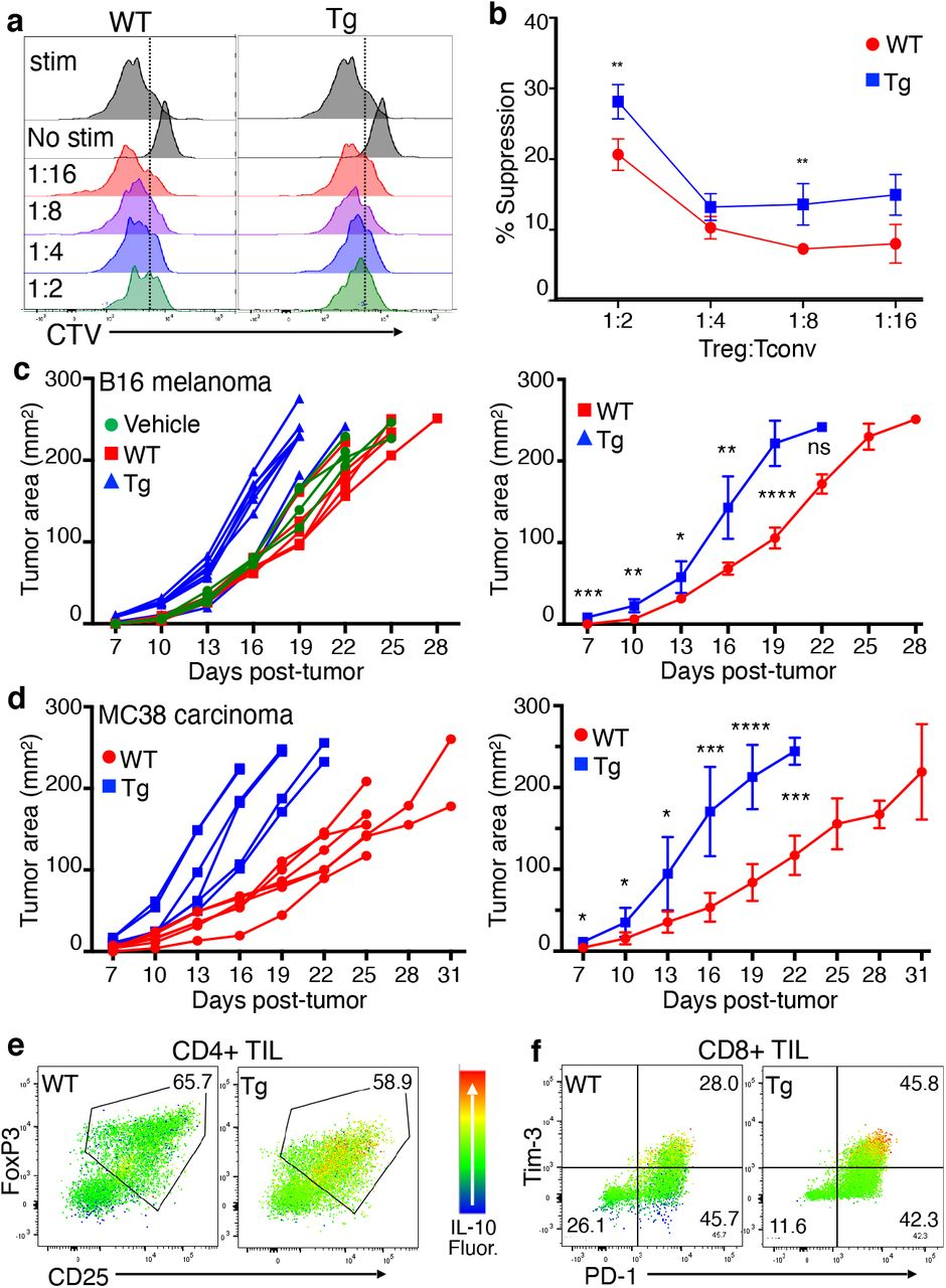 Treg with enforced Tim-3 expression display enhanced suppressive activity and IL-10 production. (a-b) GFP + cells were sorted from Tim-3 Tg or WT (Cre-only) mice and mixed with sorted naïve conventional T cells from BL/6 mice for an in vitro suppression assay. Panel A shows representative CellTrace Violet (CTV) dilution, used to quantitate proliferation of the target conventional T cells. Panel B shows average suppression of triplicate samples over a range of ratios of Treg to conventional T cells. (c-d) Effects of Treg Tim-3 induction on transplanted tumor growth. The indicated mice were treated with tamoxifen or vehicle, followed by injection of B16 (c) or MC38 (d) tumors. Growth curves for individual animals are shown (left panels), as well as average tumor growth (right panels). (e-f) Effects of Treg Tim-3 expression on IL-10 production by exhausted CD8 + conventional T cells (e) or CD4 + Treg (f). Relative IL-10 expression heat-mapped onto Tim-3 x PD-1 expression for exhausted T cells or FoxP3 x CD25 expression for Treg. Representative of two experiments of four mice each, with six-week-old mice.