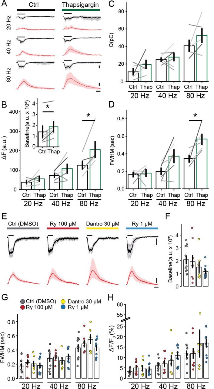 Efferent Ca 2+ signals are modulated by cisternal ATPases, but not ryanodine receptors. A) Mean synaptic responses (black) and Ca 2+ transients (red) during 300 msec electrical stimulation at 20,40 and 80 Hz before and after perfusion of Thapsigargin. B) Peak of Ca 2+ transients (as ΔF), C) Charge of synaptic responses and D) duration of Ca 2+ transients (as full width at half maximum, FWHM). Inset: Baseline fluorescence signal before and after perfusion of Thapsigargin. E) Synaptic currents (mean, black) and Ca 2+ transients (red) obtained during efferent fibers stimulation (300 msec, 80 Hz), using an intracellular solution containing vehicle (DMSO), RyR blockers (Ryanodine 100 µM and Dantrolene 30 µM) and a RyR agonist (Ryanodine 1 µM). F) Baseline fluorescence for each condition. G) Duration (FWHM) and H) maximal fluorescence signal (as ΔF/F 0 ) for each intracellular solution. Bar plots are mean ± SEM. Wilcoxon signed-rank test, * p