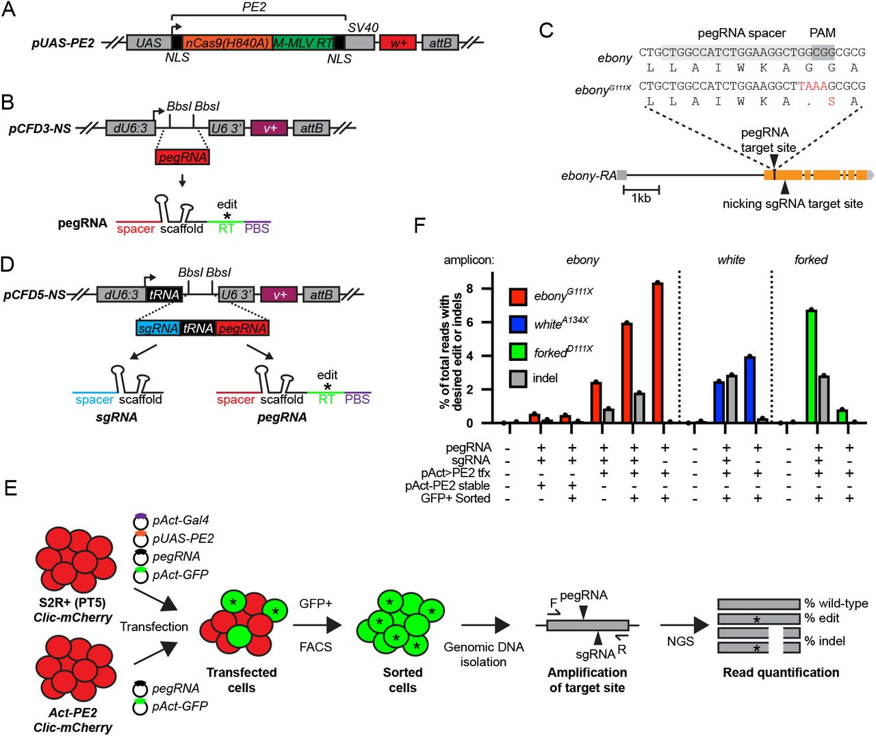 Prime editing in cultured S2R+ cells. A. Diagram of PE2 expression plasmid pUAS-PE2 . UAS , Upstream activating sequence ; NLS, Nuclear localization sequence; SV40, 3' UTR; w+ , white+ rescue transgene; attB , phiC31 recombination site. B. Diagram of <t>pCFD3-NS</t> pegRNA expression plasmid. <t>BbsI</t> sites indicate cloning site for pegRNA encoding sequence. dU6:3 , U6 promoter; U6 3', U6 downstream region; v+ , vermillion+ rescue transgene. C. ebony genomic region showing target site and installed edit ( ebony G111X ). D. Dual sgRNA and pegRNA expression plasmid pCFD5-NS . tRNA, D.m. and O.s. Gly tRNA sequence. E. Schematic of S2R+ prime editing experiment. F. Quantification of precise editing and indels from S2R+ transfection experiments by amplicon sequencing. tfx, transfection.