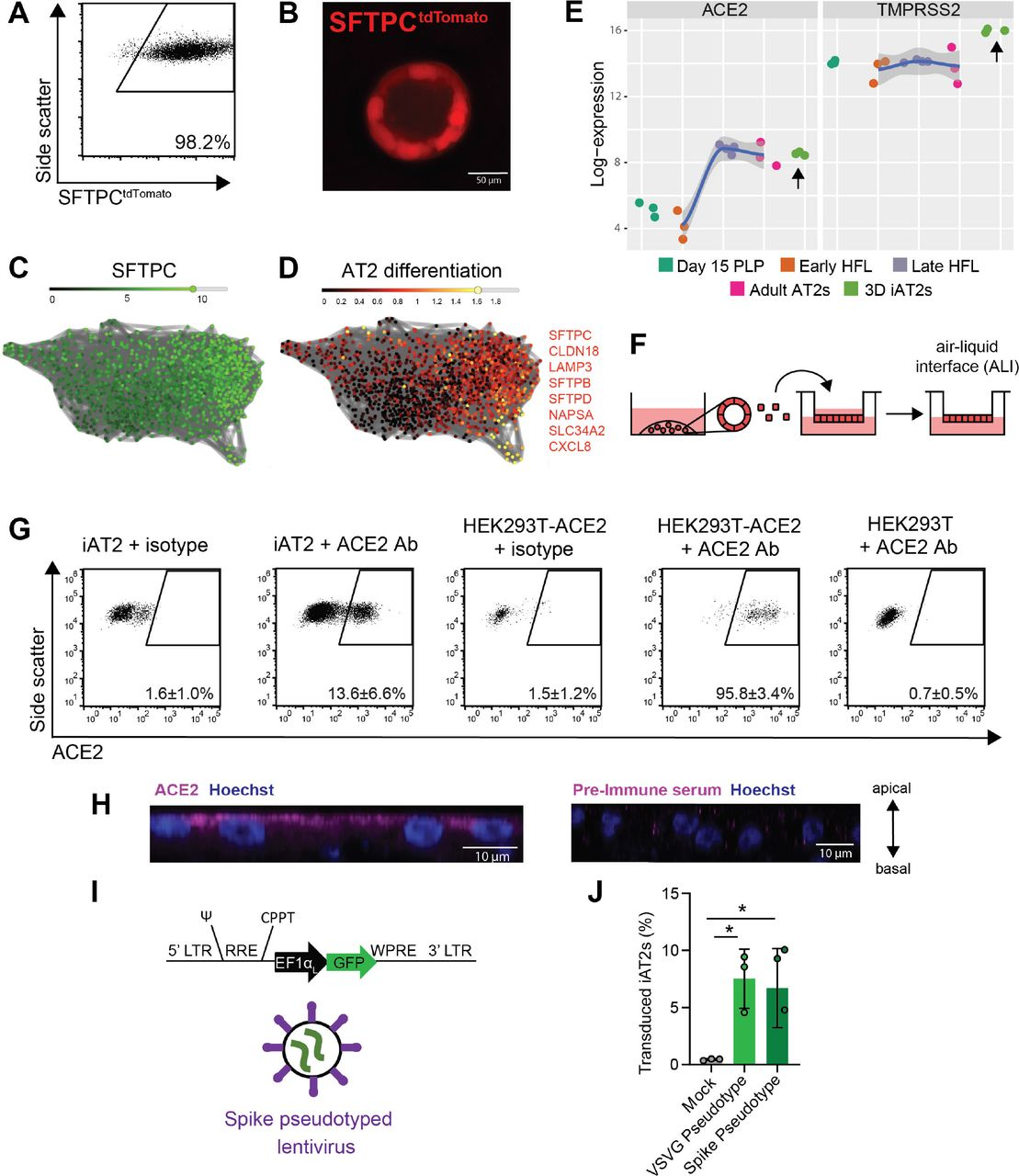 iPSC-derived alveolar epithelial type 2 cells (iAT2s) express functional SARS-CoV-2 entry factors ACE2 and TMPRSS2. (A-B) iAT2s, carrying a tdTomato reporter targeted to the endogenous SFTPC locus by gene editing (SPC2 line), can be serially passaged while maintaining > 90% SFTPC tdTomato+ expression in 3D sphere cultures (Day 160 of differentiation, passage 8 shown; single cell RNA sequencing profile provided in Figure S1 ). (C, D) Single cell RNA sequencing data of iAT2s (SPC2 line at Day 114 of differentiation) visualized in SPRING plots (Weinreb et al., 2018) based on reanalysis of a dataset previously published in ( Hurley et al., 2020 ) showing expression of (C) SFTPC as well as (D) an 8-gene benchmark of AT2 cell differentiation ( SFTPC, CLDN18, LAMP3, SFTPB, SFTPD, NAPSA, SLC34A2, CXCL8 as characterized in ( Hurley et al., 2020 )). (E) iAT2s (RUES2 line) express ACE2 and TMPRSS2 transcripts at comparable levels to purified primary adult human lung AT2s (day 15 PLP=primordial lung progenitors derived from pluripotent stem cells at day 15 of differentiation, Early HFL=primary early human fetal lung alveolar epithelium at 16-17.5 weeks gestation; late HFL=alveolar epithelium at 20-21 weeks gestation, and adult AT2s=adult alveolar epithelial type 2 cells from 3 different individuals freshly sorted using the antibody HTII-280.adult AT2s; primary sample adult and fetal procurement described in detail in ( 9 )). (F-H) iAT2s (SPC2 line) cultured at air-liquid interface (ALI) (F) express ACE2 protein, as observed by flow cytometry, n=9 (G; additional scRNA-seq profiling in Figure S1 ), which is apically localized, as observed by immunofluorescence staining (scale bar = 10 μm) (H). (I-J) iAT2s infected with a GFP-expressing lentivirus pseudotyped with either VSVG or SARS-CoV-2 Spike envelopes, n=3. *p