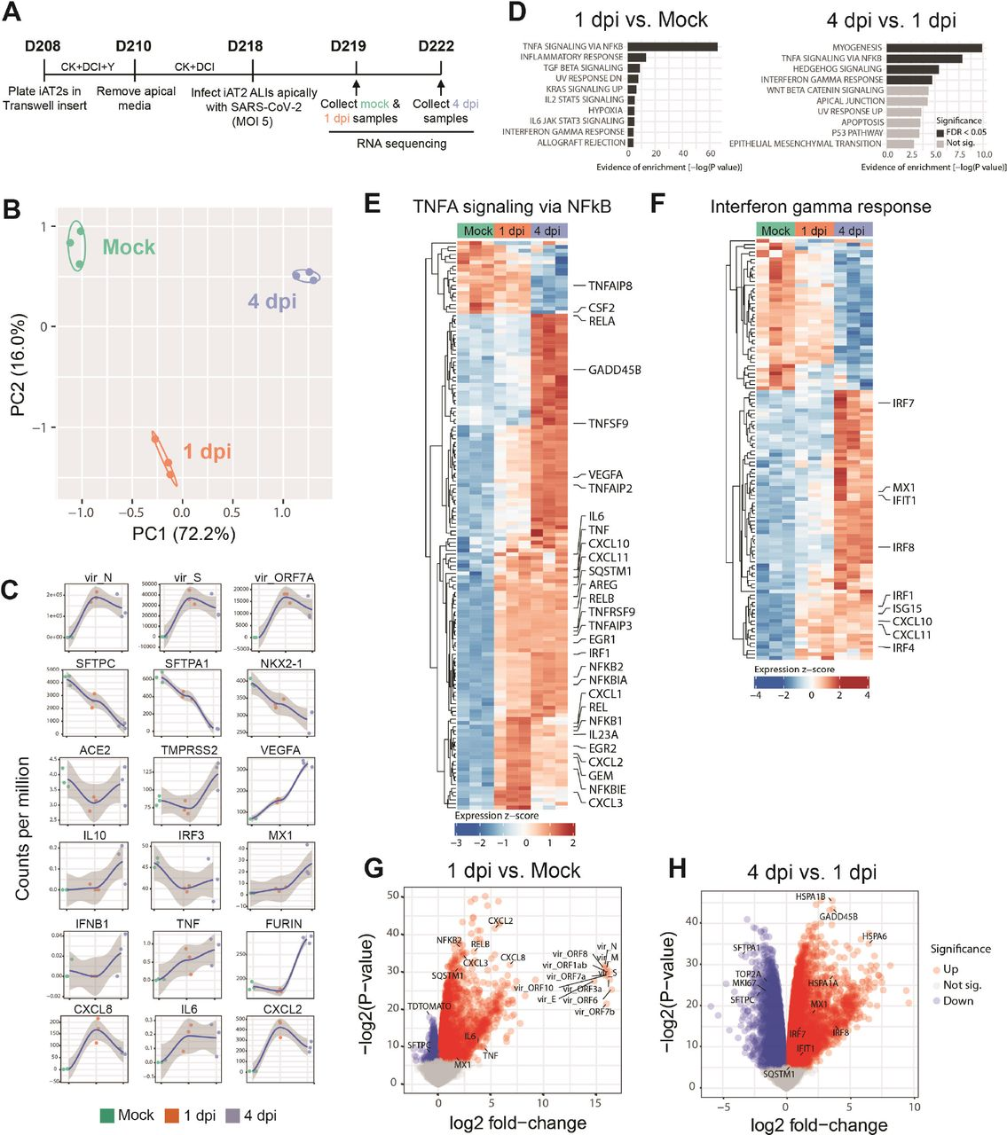 SARS-CoV-2 elicits transcriptomic changes in iAT2s that highlight epithelial-intrinsic inflammatory responses to infection. (A) Schematic of the iAT2 ALI samples (starting with Day 208 iAT2s) infected with SARS-CoV-2 (MOI 5) and collected at 1 and 4 dpi (mock collected 1 dpi) for bulk RNA sequencing (RNA-seq). (B) Principal component analysis (PCA) of iAT2 samples (n=3 biological replicates per condition) showing global transcriptomic variance (%) of PC1 and PC2 components. (C) Local regression (LOESS) plots of viral, AT2, NF-kB, and interferon (IFN) gene expression levels quantified by RNA-seq normalized expression (counts per million reads). (D) Gene set enrichment analysis (GSEA, Camera using Hallmark gene sets) of the top 10 upregulated gene sets in 1 dpi vs. mock or 4 dpi vs. 1 dpi conditions (black color indicates statistical significance; FDR