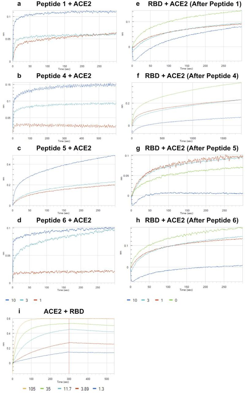 Biolayer interferometry was used to determine dissociation constants of SARS-BLOCK™ peptides associated with dimeric ACE2, and the inhibitory effects of peptides on ACE2 binding to RBD. All peptides exhibited potent inhibition of RBD binding to ACE2 at 10μM concentrations. Peptides were associated with ACE2 at 1, 3 and 10μM concentrations until saturation was observed (a-d). After peptide binding to ACE2, we measured ACE2 association of SARS-CoV-2 RBD at 35μM in the absence of peptides (e-h). Curiously, association of ACE2 with Peptide 5 at 1uM and 3uM enhanced RBD binding, while 10uM concentrations strongly abrogated binding (g). All other peptides exhibited a dose-response-like behavior in preventing RBD binding, including at 1 and 3μM concentrations (e,g,h). Of note, peptides were not included within the final solution of 35μM RBD, meaning that this assay was more of a measure of competitive irreversible antagonism versus IC50 determination. Finally, we compared these results to RBD-biotin captured on streptavidin sensor tips, and subsequently bound to monomeric ACE2 (i).