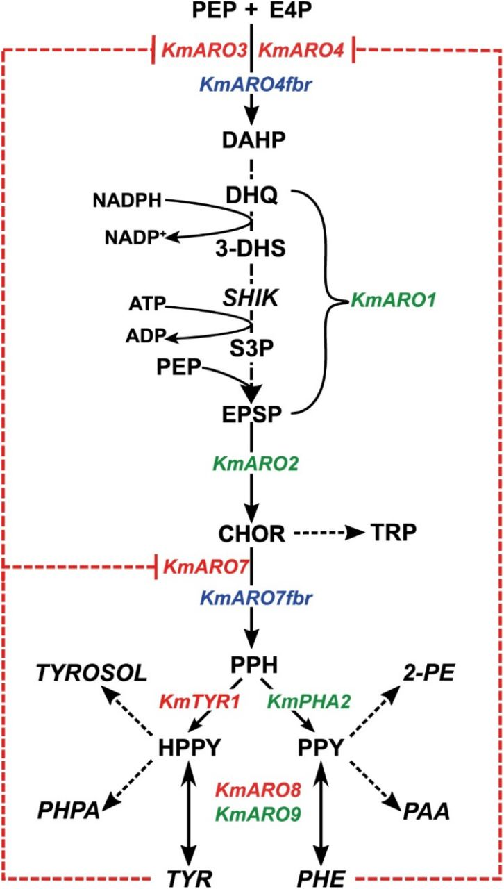 Shikimate and phenylalanine/tyrosine biosynthesis in Kluyeromyces marxianus . The genes are named according to their orthologues in Saccharomyces cerevisiae . Genes in red are deleted or otherwise inactivated, genes in green are overexpressed in our study, and genes in blue are overexpressed alleles of genes resistant to feedback inhibition. Red dashed lines indicate product inhibition, while dashed arrows indicated multiple reactions between the metabolites indicated. Compounds that were assayed by HPLC are italicised. Abbreviations: PEP: phosphoenolpyruvate, E4P: erythrose 4-phosphate, DAHP: 3-deoxy-D-arabinoheptulosonate-7-phosphate, DHQ: 3-dehydroquinate, 3-DHS: 3-dehydroshikimate, SHIK: shikimic acid, S3P: shikimate-3-phosphate EPSP: 5-enoylpyruvateshikimate-3-phosphate, CHOR: chorismate, PPH; prephentate, (H)PPY: (hydroxyl)phenylpyruvate, 2-PE: 2-phenylethanol; PAA: phenylacetic acid; TYROSOL: tyrosol/para-hydroxyphenylethanol; PHPA: para-hydroxphenylacetate; TRP: tryptophan; TYR: tyrosine, PHE: phenylalanine.
