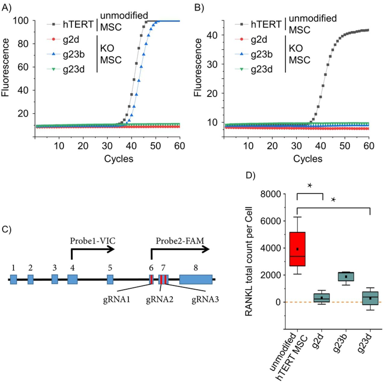 Quantitative measurement of TNFSF11 RNA and RANKL protein. TNFSF11 transcription was assessed by two qPCRs upstream (A) and downstream (B) of the gRNAs target sites. hTERT MSC and the TNFSF11 knockout clones g2d, g23b and g23d were analyzed (n=3, representative runs are displayed). Upstream reaction was positive for hTERT MSCs and g23b, while downstream reaction was positive only for hTERT MSCs. (C) Schematic presentation of the major splice variant of TNFSF11 . Blue boxes represent exons, red bars indicate the target site of the CRISPR/Cas9 gRNAs and black arrows symbolize the TaqMan probes with the respective fluorophore. (D) Protein expression was measured using emulsion coupling. RANKL-positive hTERT MSCs applied as positive control and 3 different RANKL KO hTERT MSCs were analyzed. The results are in the absolute counts of detected RANKL proteins. The values were normalized against control reaction without interaction (ABC) (red = positive control, cyan = samples); boxes represent the interquartile range (IQR; first to third quartiles); whiskers are 1.5× IQR; horizontal mid-line, median; dot, mean. Statistical significance is indicated: Kolmogorov-Smirnov-test (n = 3) *P ¡ 0.05; zero level means no RANKL protein detected.