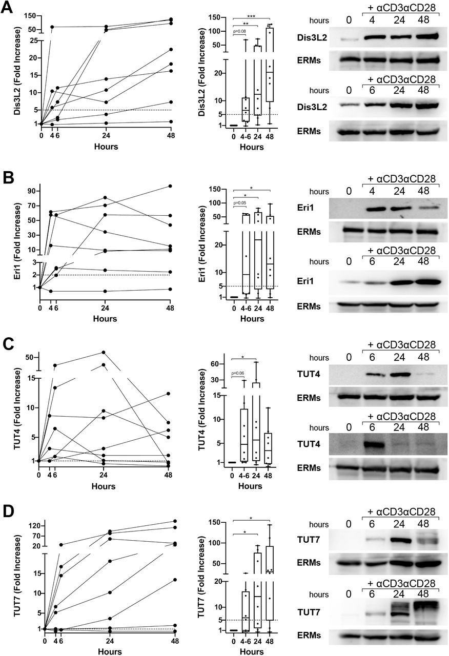 Expression of uridylated RNA degrading enzymes (Dis3L2 and Eri1) and terminal uridyl transferases (TUT4 y TUT7) upon CD4+ T cell activation. Western blot analysis of protein expression in human primary CD4+ T cell stimulated with αCD3αCD28, assessing Dis3L2 (A), Eri1 (B), TUT4 (C) and TUT7 (D). Fold increase compared to non-stimulation was represented for each donor to observe evolution upon activation (left panel) and using group median and interquartile range with whiskers ranging from minimum to maximum values (middle panel). Right panels include two examples for each protein to highlight inter-donor variability in upregulation kinetics. Band intensities were normalized to ERMs values and relativized to unstimulated conditions. Statistical analysis: Kruskal-Wallis test, Dunn's multiple comparisons test [* p-value