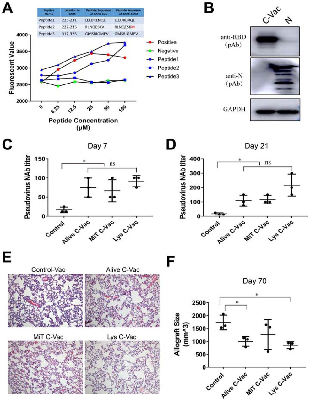 The immunogenicity, efficacy and safety of C-Vac for SARS-CoV-2 infection. (A) Flow cytometry-based detection of MHC(HLA-A2)-peptide complex binding affinity in T2 cells. (B) The expression of antigens in 293T-based C-Vac is confirmed by Western Blot. N, 293T cells transfected with the plasmid expressing a full length N gene. (C D) Pseudovirus neutralization titers of hamster serum at day 7 after the first immunization and day 21 (boosted at day 14) after vaccination with 293T-based C-Vac, MiT C-Vac: Mitomycin C-treated C-Vac, Lys C-Vac: Lysed C-Vac. (E) Histological characteristics of hamster lung at day 7 after the first vaccination. Original magnification 200× (F) Allograft volume of transformed fibroblasts expressing RBD-truncated N protein in the Syrian hamsters immunized with different regime. 5×10 6 BHK21 cells expressing C-Vac antigen (RBD-Ntap) were subcutaneously injected into immunized hamsters for challenge at day 45 after boost, and the volume of allografts were measured at 14 days after inoculation of the BHK21 cells expressing RBD-Ntap into the immunized hamsters.