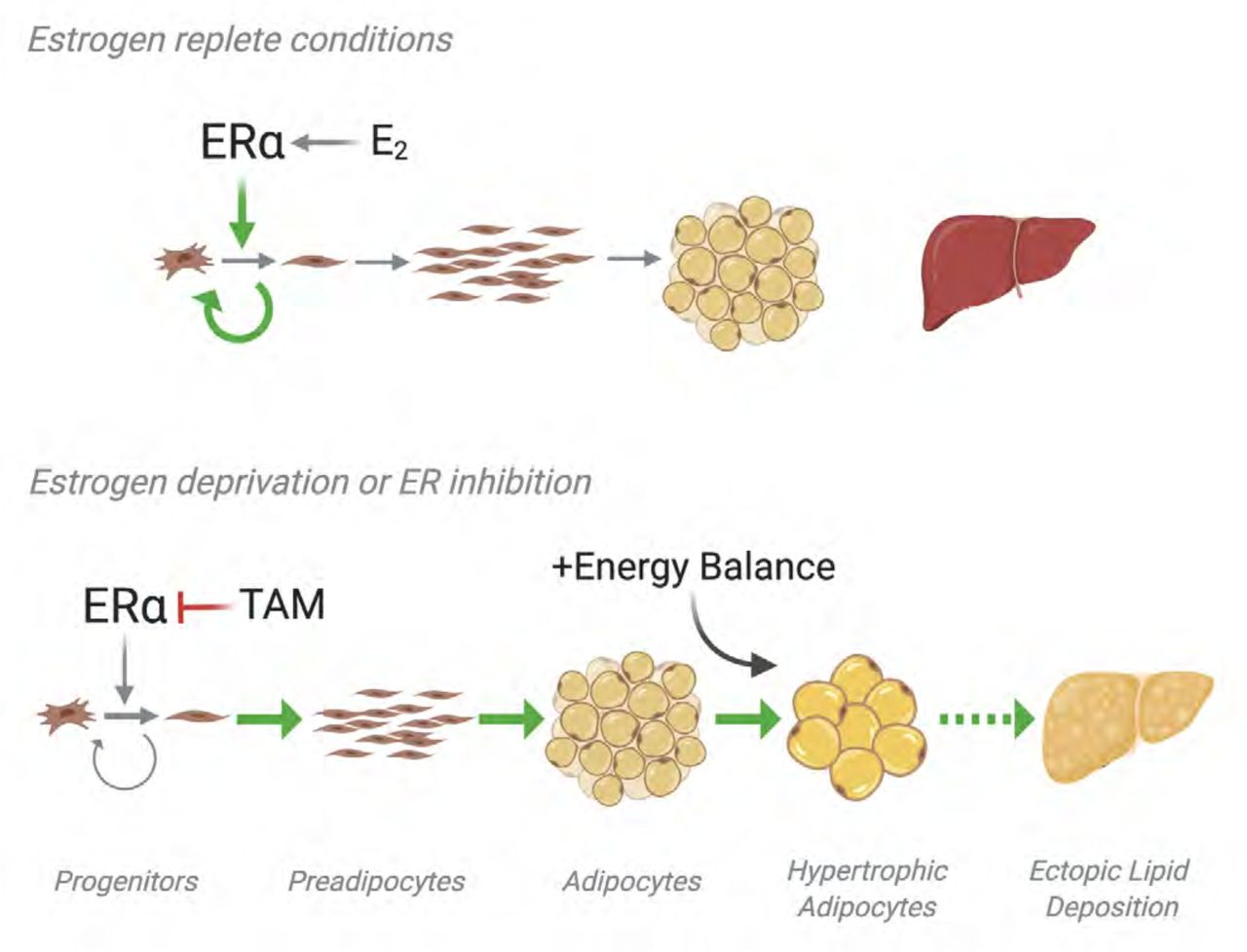 Proposed model of endocrine therapy effects on adipose tissue. ERα signaling maintains adipocyte progenitor pools and inhibits preadipocyte expansion, adipocyte differentiation, and hypertrophy. Disruption of E 2 signaling through either tamoxifen treatment or withdrawal of E 2 depletes the adipocyte progenitor pool causing adipocyte hypertrophy consistent with a phenotype that precedes insulin resistance and the development of type 2 diabetes.