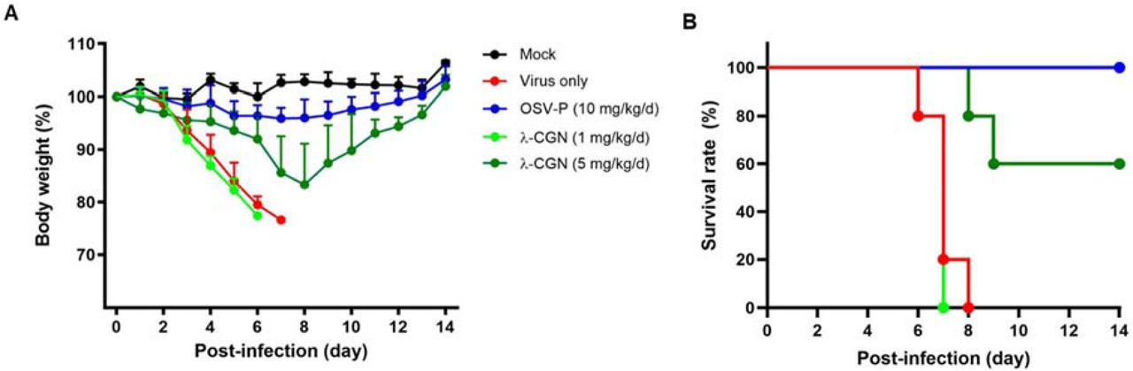 Effect of λ-CGN on <t>influenza</t> A infection in vivo . BALB/c mice were mock-infected (black) or intranasally infected with maPR8 at 5 MLD50 (red). As test groups, the virus was preincubated at room temperature for 30 min with λ-CGN at a lower dose (1 mg/kg/d, bright green) or a higher dose (5 mg/kg/d, dark green), followed by intranasal administration. Control mice received oral OSV-P twice a day (10 mg/kg/d) at 8-h intervals, starting at 4 h before viral infection (blue). Body weight (A) and mortality (B) of mice were measured every day from Days 0 to 14 post-infection. Data are expressed as the mean ± SEM from five mice