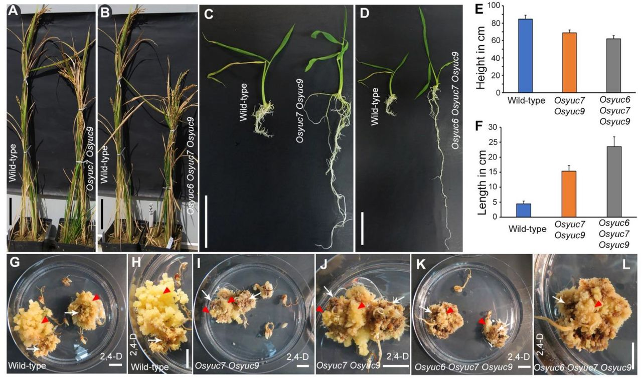 Rice Embryogenic Trigger Baby Boom1 Promotes Somatic Embryogenesis By Upregulation Of Auxin Biosynthesis Genes Biorxiv