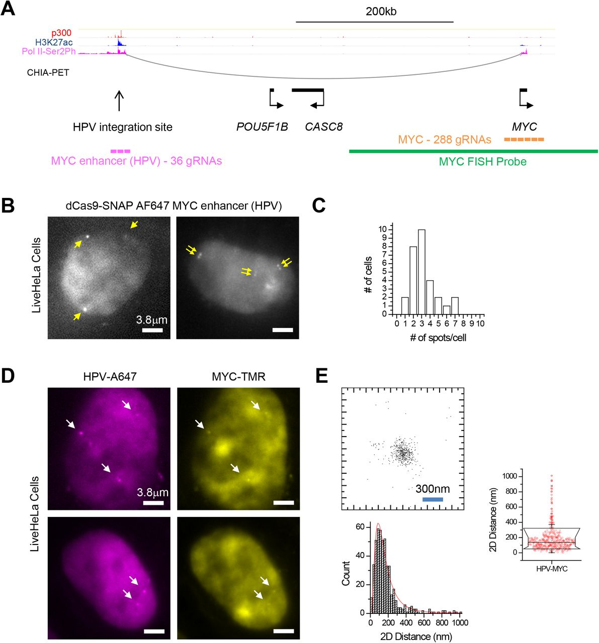 Pools of pre-assembled RNPs enable visualizing the MYC locus in live HeLa cells. ( A ) Organization of the extended MYC locus though proximity ligation (ChIA-PET) and ChIP-Seq assays. HeLa Pol II ChIA-PET data (GSM832461) ( Li et al., 2012 ),as well as ChIP-Seq data for p300 (GSM935500), H3K27ac (GSM733684) and Pol2-Ser2Ph (GSM935383), are visualized using the WashU Epigenome Browser ( Zhou et al., 2011 ). ( B ) Visualization of the HPV integration site using Alexa 647-labeled dCas9 RNPs, assembled with a pool of 36 distinct gRNAs. The right cell contains doublets of closely-spaced puncta, indicative of replicated loci in S/G2. ( C ) Distribution of number of discernible Alexa 647-HPV spots per cell. ( D ) Two-color imaging of HPV integration site (Alexa 647) and MYC (TMR) using co-delivery of preassembled RNPs in live HeLa cells. ( E ) 2D scatter plot of relative positions and statistics (histogram and box plot) of 2D distances between Alexa 647-HPV and TMR-MYC in live HeLa cells. 2D distance is 177±155 nm (mean±S.D.; n =472 measurements from > 30 loci).